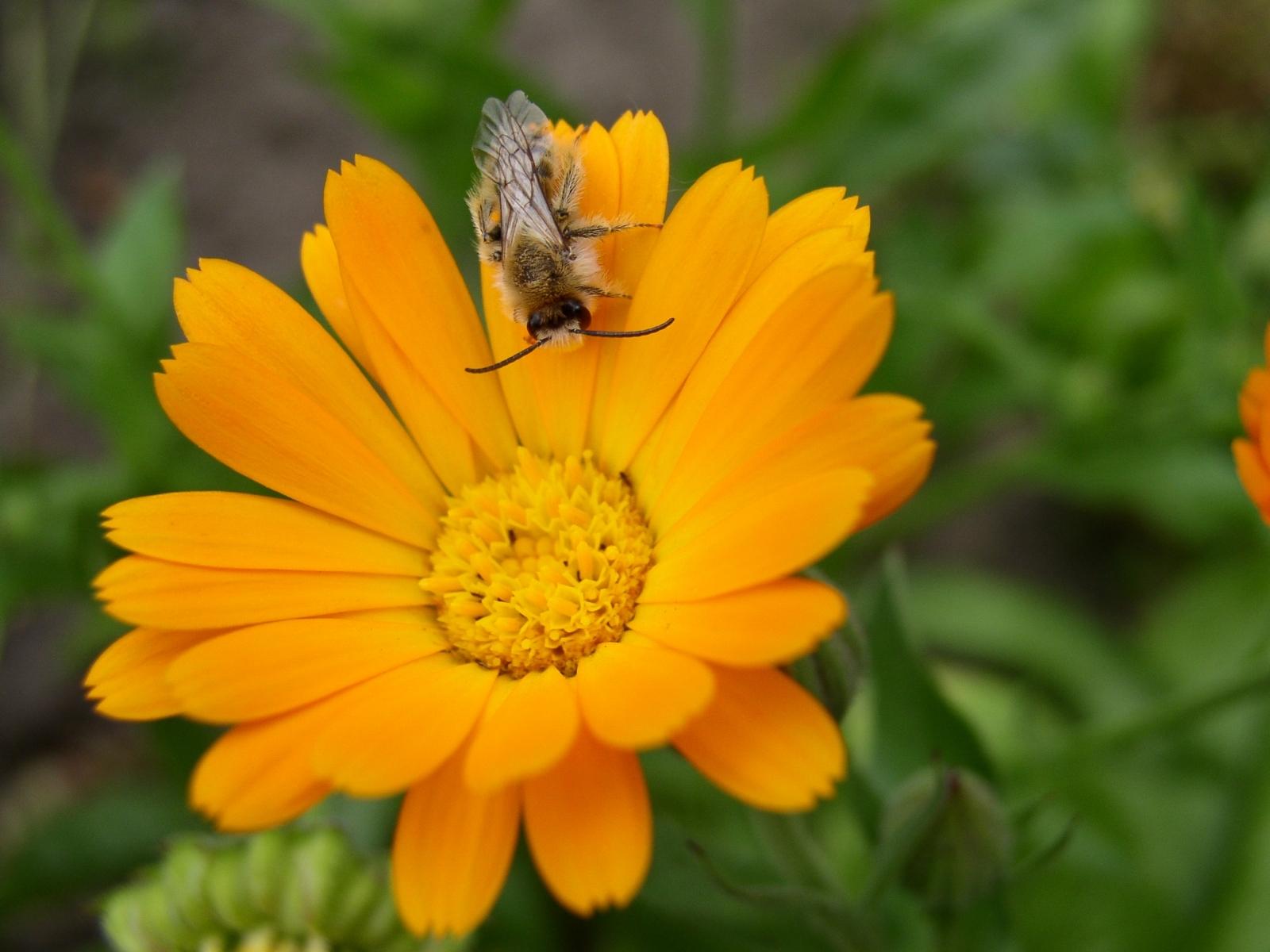 1439 Hintergrundbild herunterladen Pflanzen, Blumen, Bienen - Bildschirmschoner und Bilder kostenlos