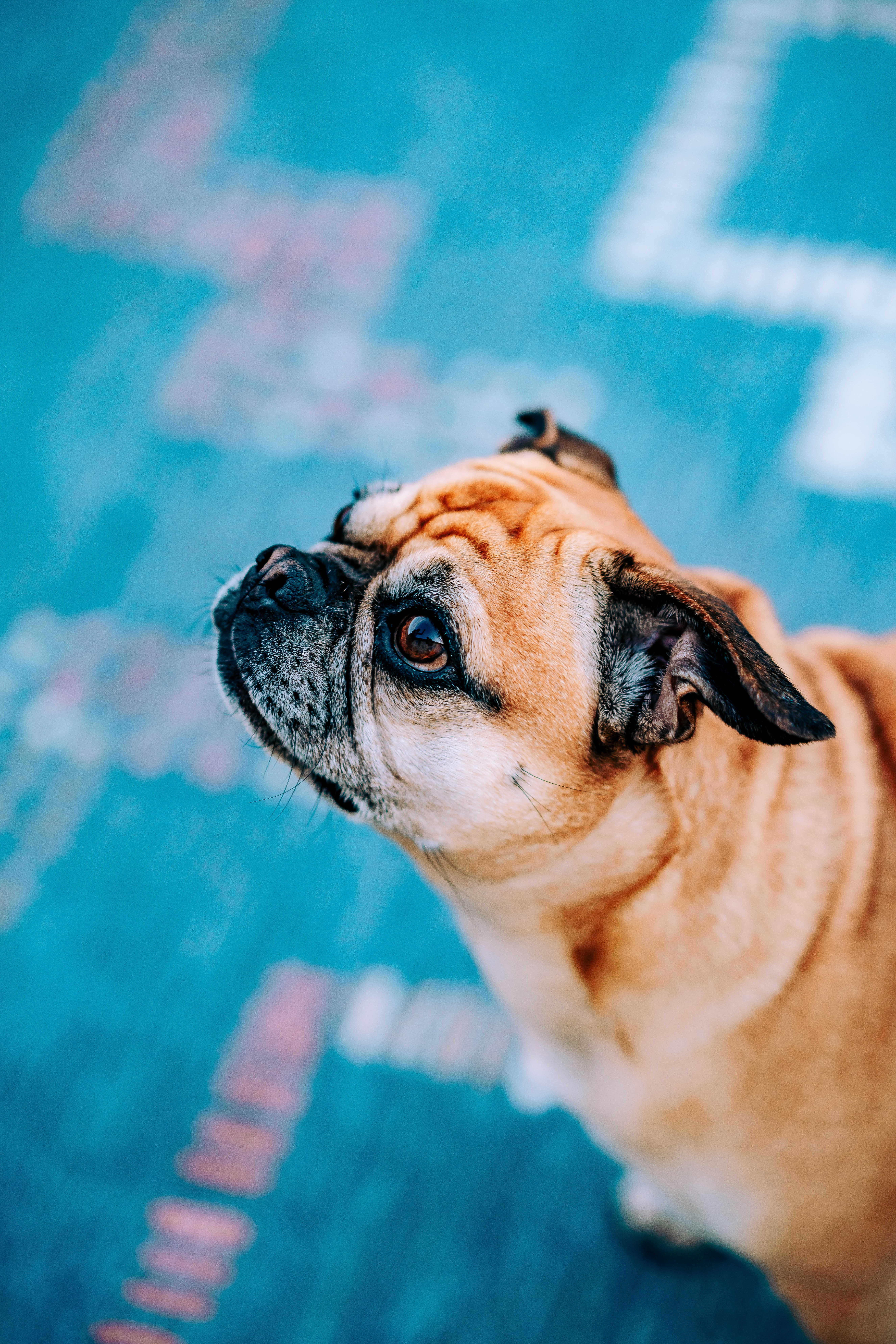 83980 download wallpaper Animals, Pug, Dog, Sight, Opinion, Profile screensavers and pictures for free