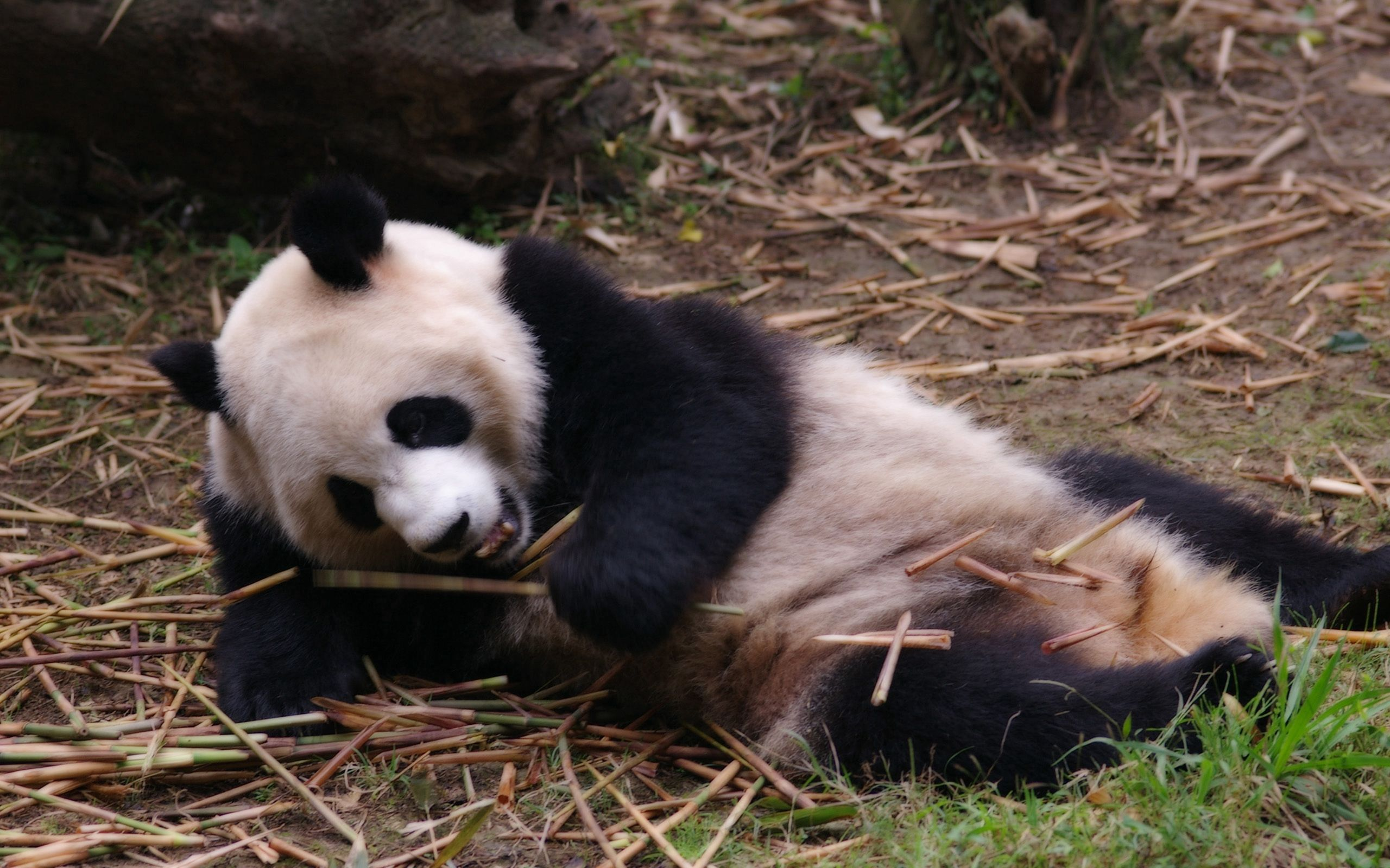 116551 download wallpaper Animals, Panda, Relaxation, Rest, Sleep, Dream, Branches screensavers and pictures for free