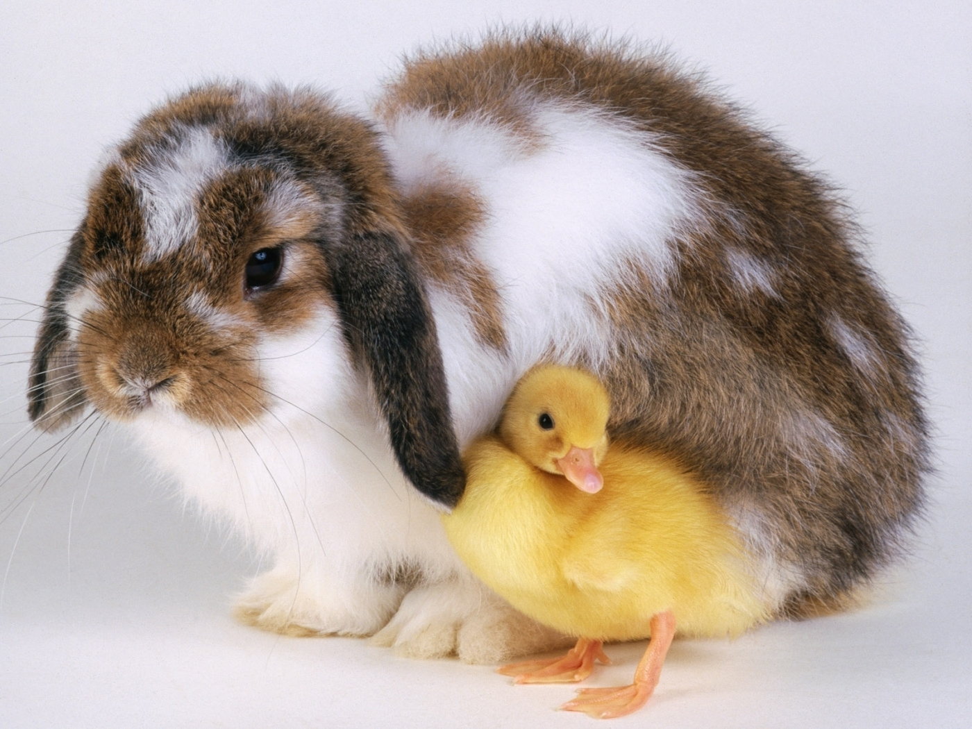 25688 download wallpaper Animals, Birds, Ducks, Rabbits screensavers and pictures for free