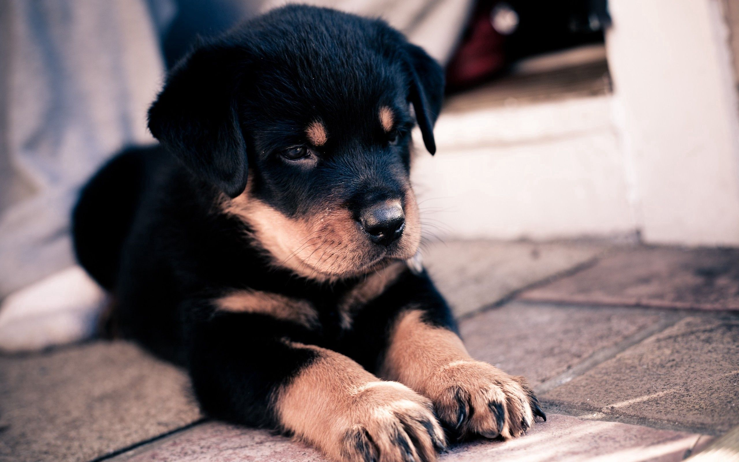110126 download wallpaper Animals, Puppy, Rottweiler, To Lie Down, Lie, Nice, Sweetheart screensavers and pictures for free