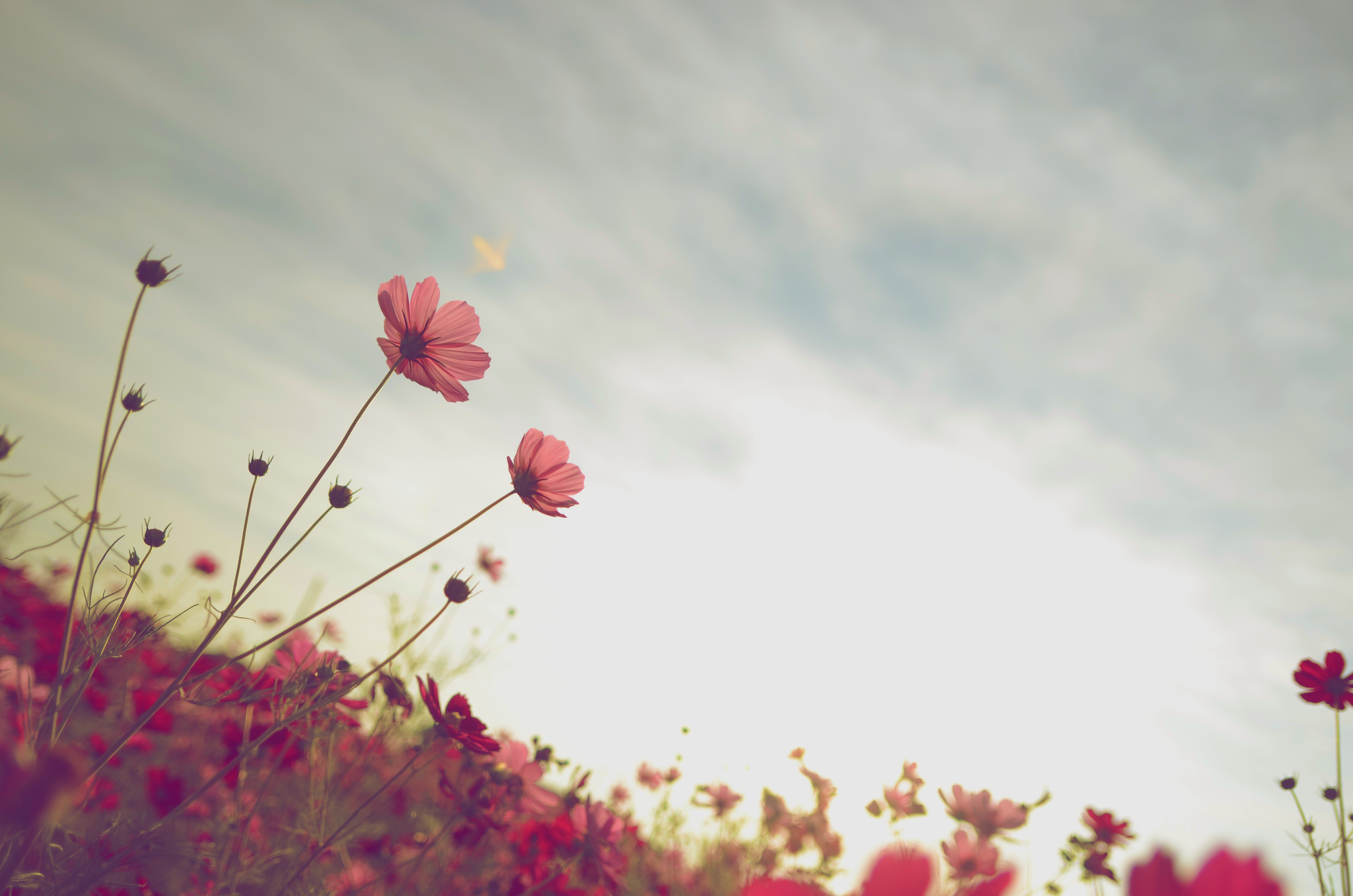 134002 Screensavers and Wallpapers Flower Bed for phone. Download Flowers, Sky, Summer, Flower, Bloom, Flowering, Flower Bed, Flowerbed, Kosmeya, Cosmos pictures for free