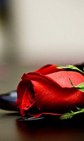 44250 скачать обои Растения, Цветы, Розы - заставки и картинки бесплатно