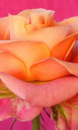 37934 descargar fondo de pantalla Plantas, Flores, Roses: protectores de pantalla e imágenes gratis