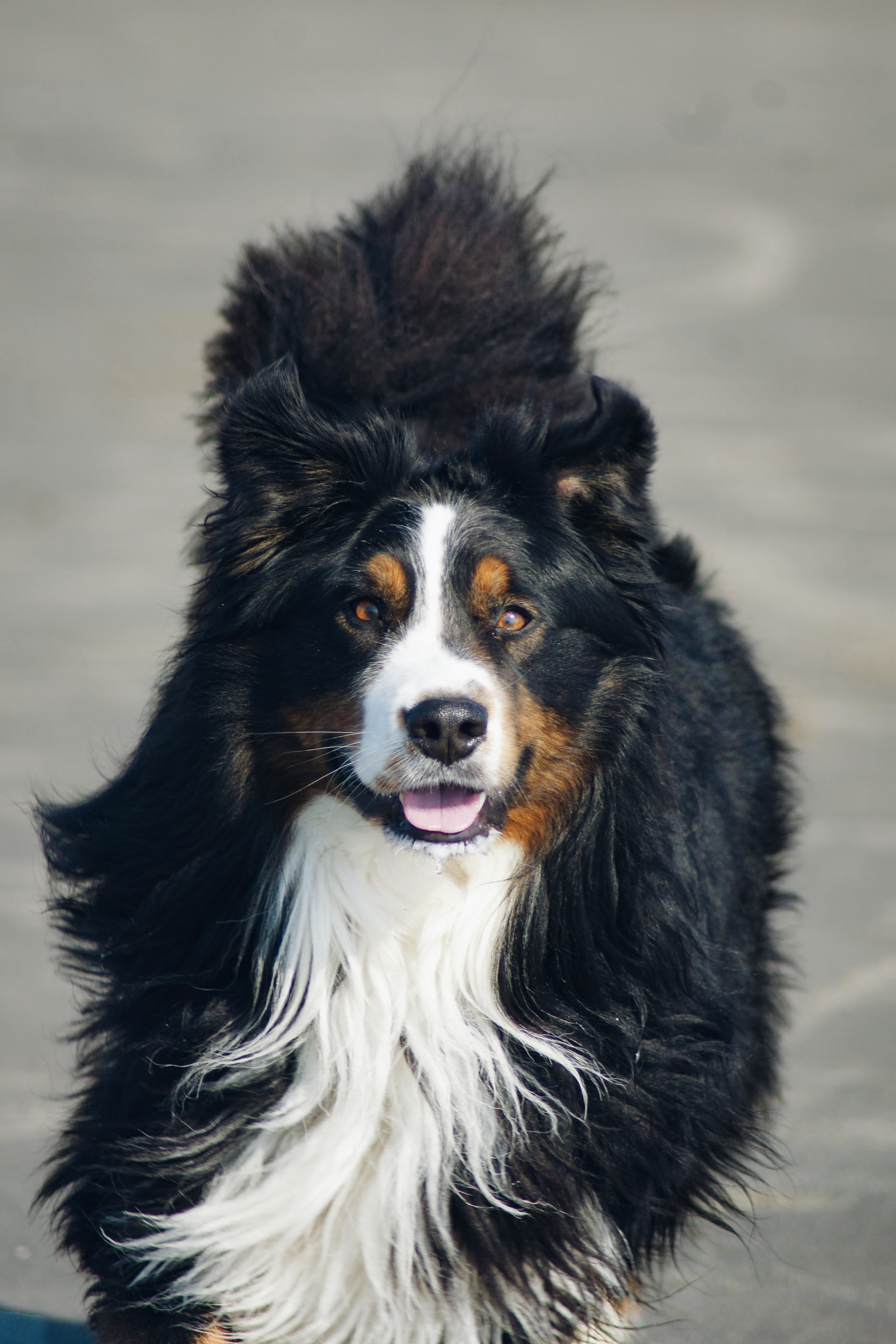 89103 download wallpaper Animals, Bernese Mountain Dog, Berne Zennenhund, Dog, Protruding Tongue, Tongue Stuck Out, Pet screensavers and pictures for free