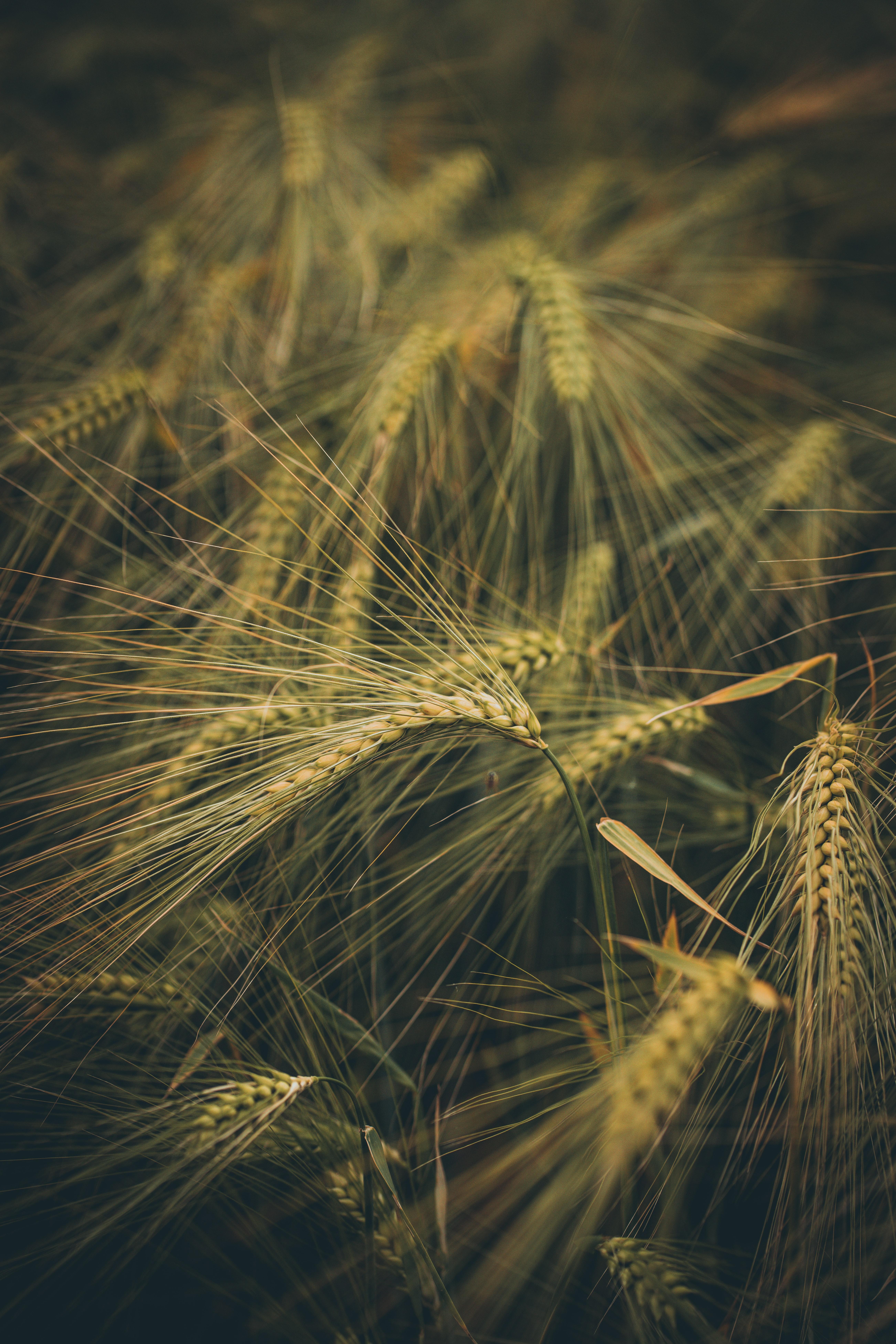 109577 скачать обои Природа, Колосья, Поле, Трава, Пшеница - заставки и картинки бесплатно