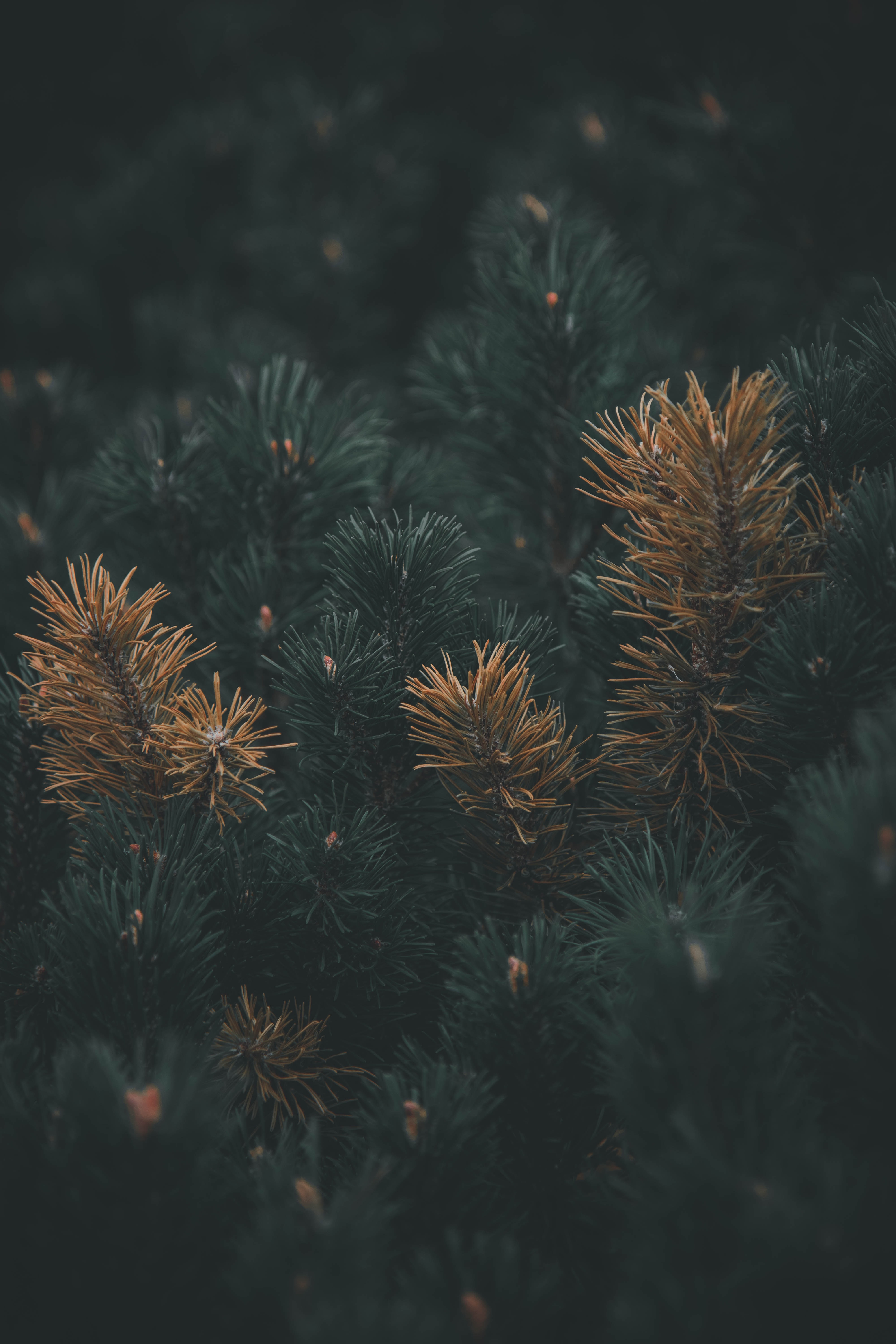 66313 Screensavers and Wallpapers Pine for phone. Download Pine, Plant, Macro, Branch, Needles pictures for free