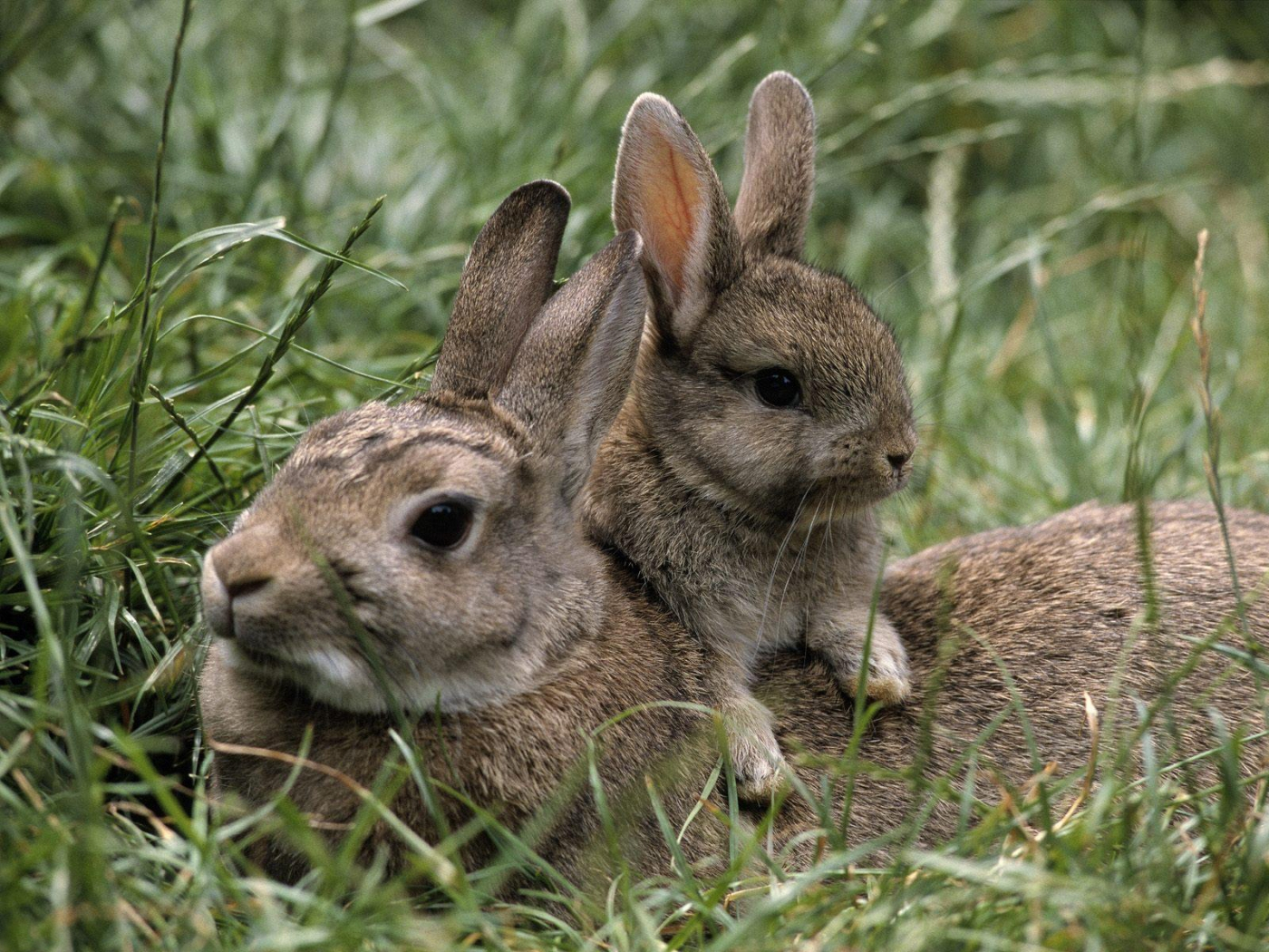 36721 download wallpaper Animals, Rabbits screensavers and pictures for free