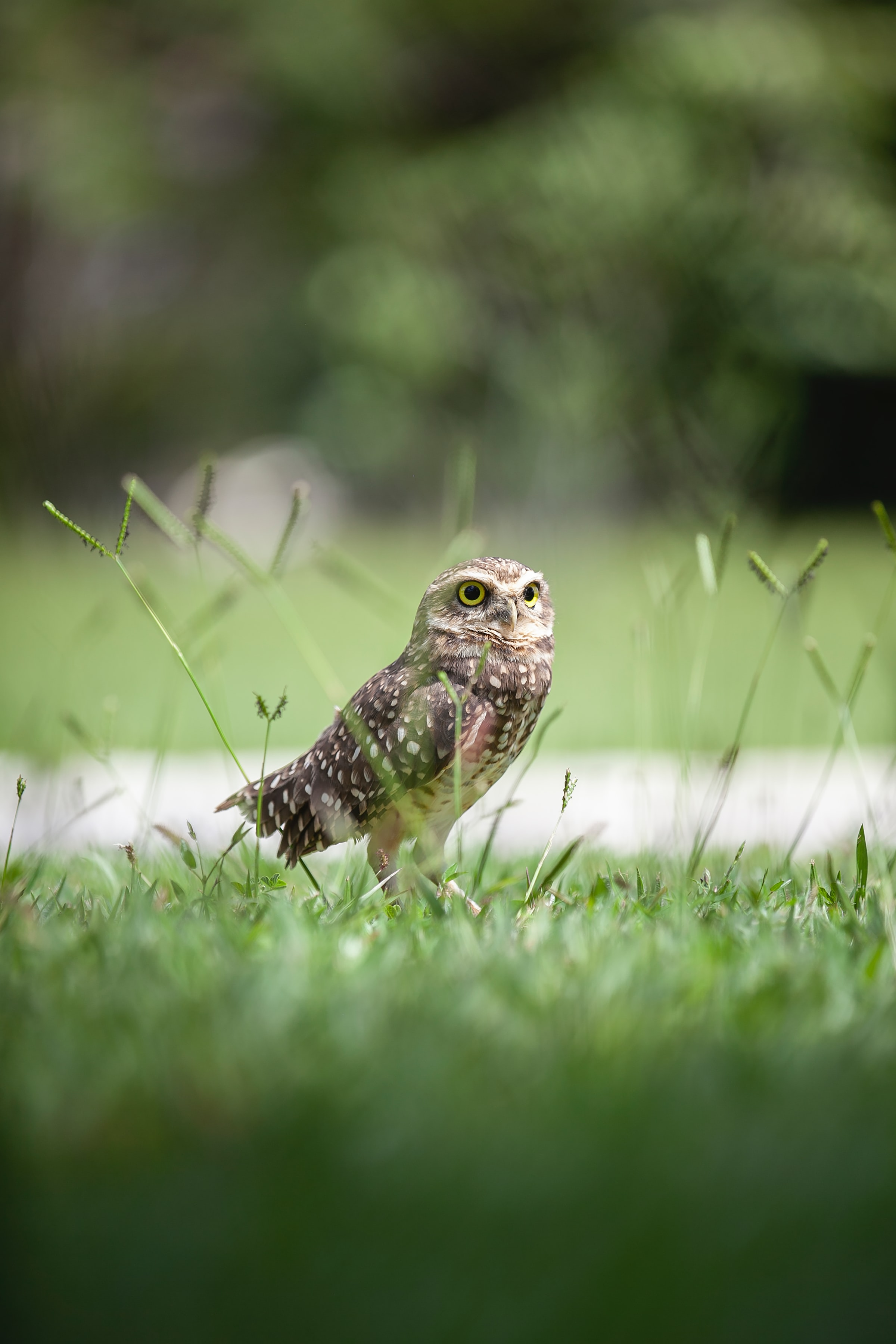 155914 download wallpaper Animals, Owl, Bird, Grass, Predator, Focus screensavers and pictures for free