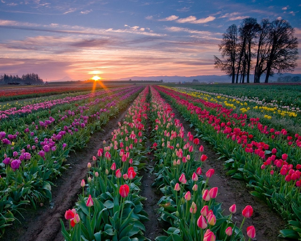 115930 download wallpaper Flowers, Trees, Sunset, Sky, Tulips, Plantation, Rows, Ranks screensavers and pictures for free