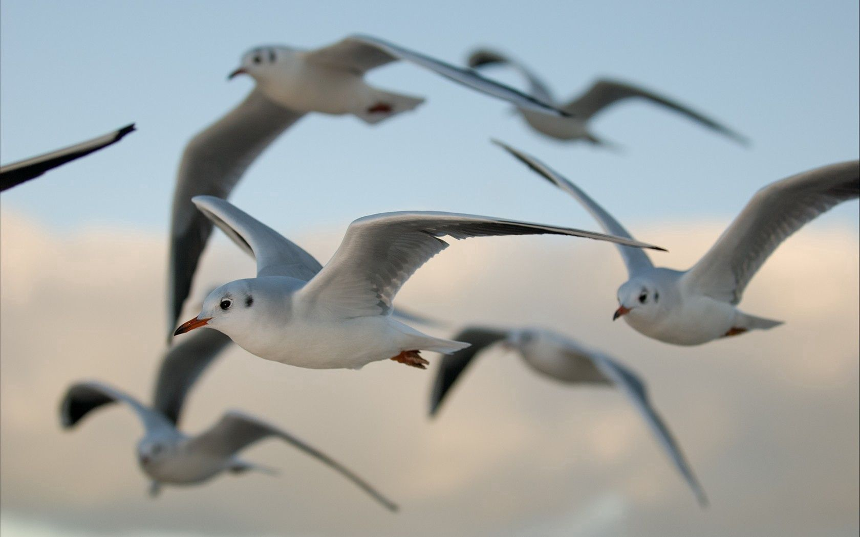 99426 download wallpaper Animals, Flight, Birds, Seagulls screensavers and pictures for free