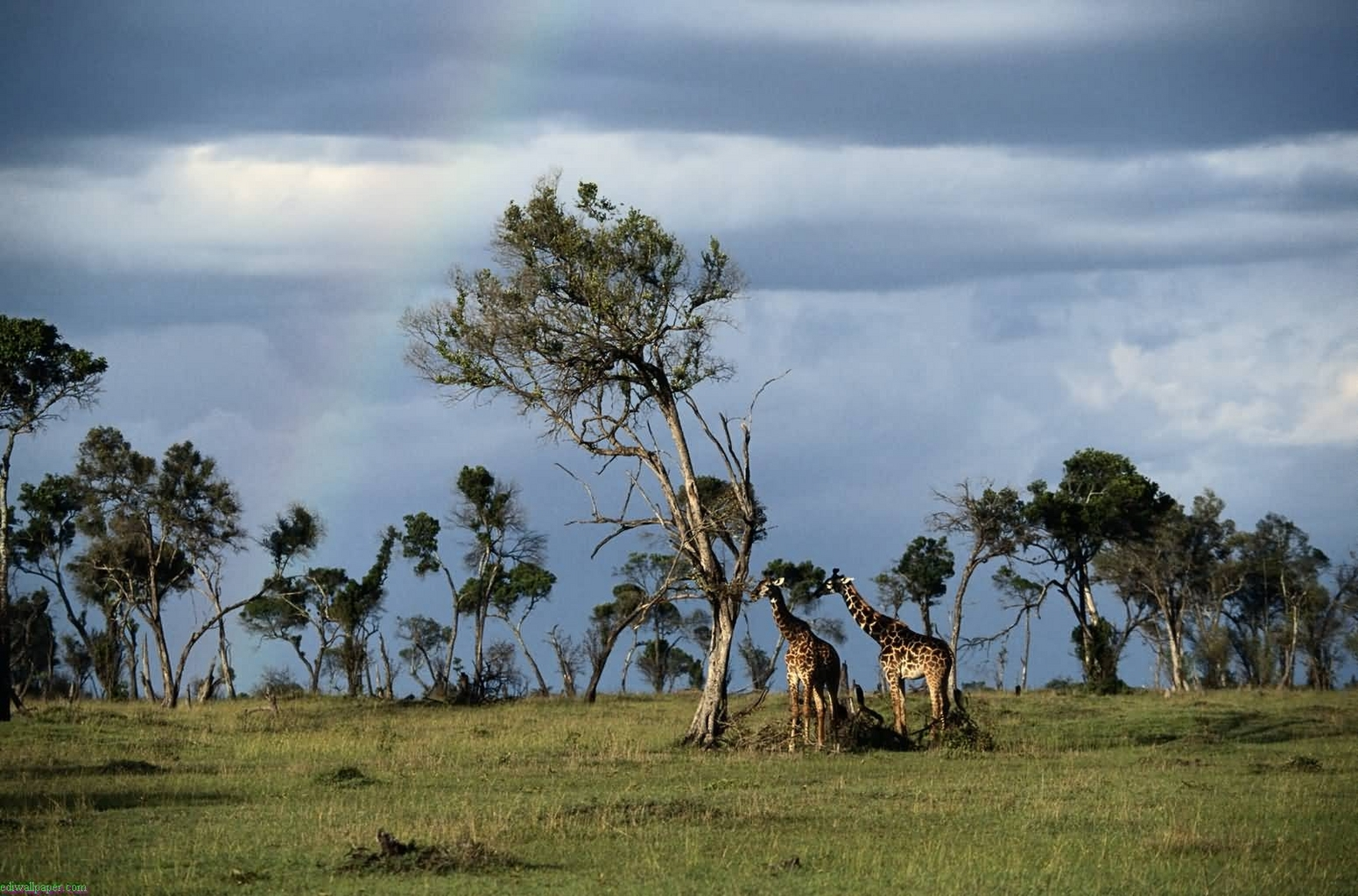 46102 download wallpaper Animals, Landscape, Nature, Giraffes screensavers and pictures for free