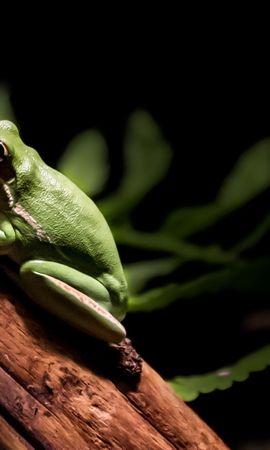27282 baixar papel de parede Animais, Frogs - protetores de tela e imagens gratuitamente
