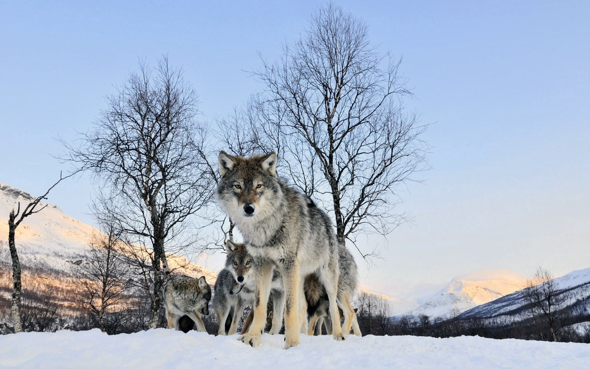 113317 Screensavers and Wallpapers Stroll for phone. Download Animals, Winter, Snow, Wolf, Stroll, Flock pictures for free