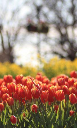 49516 скачать обои Растения, Пейзаж, Природа, Цветы, Поля, Тюльпаны - заставки и картинки бесплатно