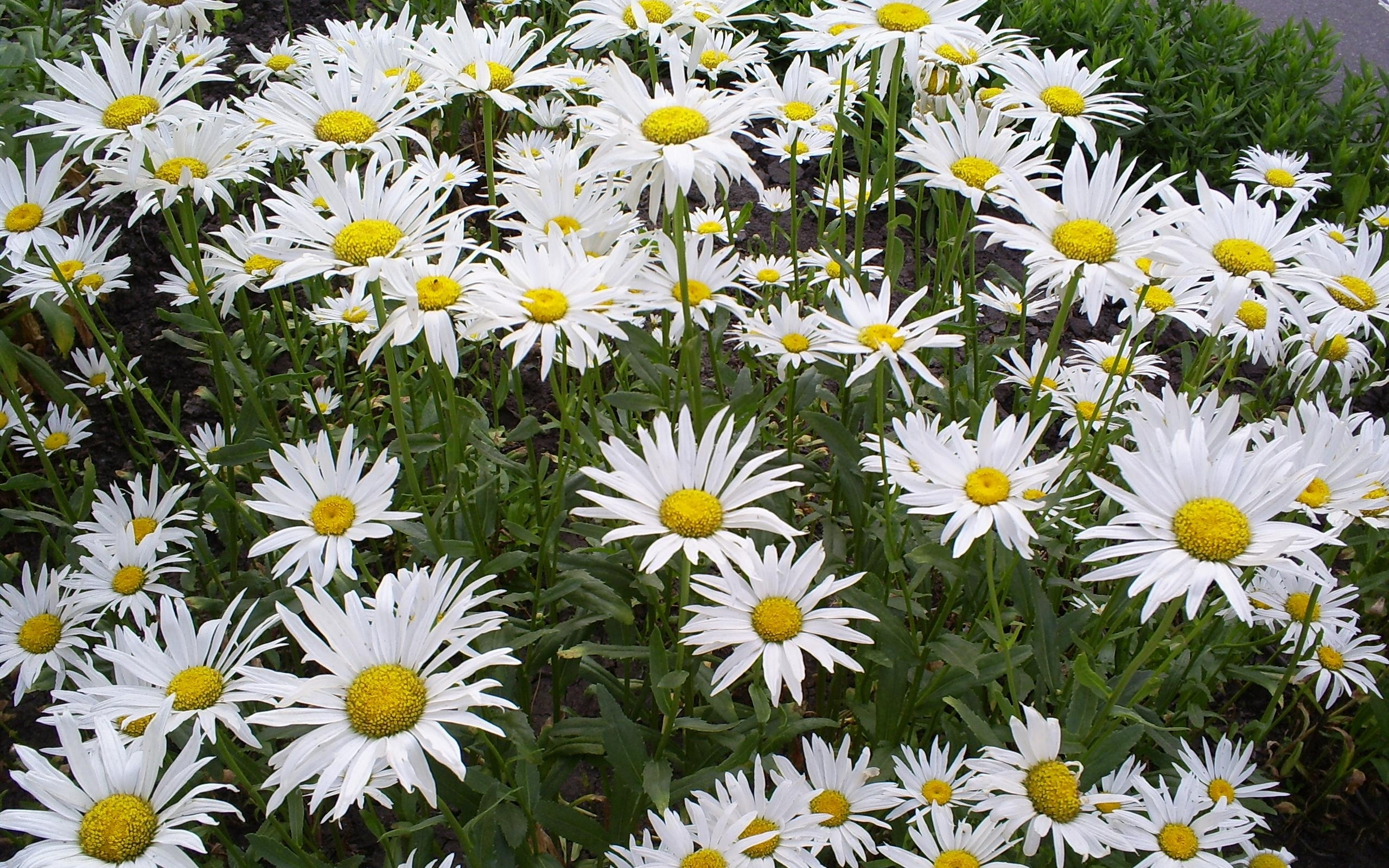 1978 download wallpaper Plants, Flowers, Background, Camomile screensavers and pictures for free