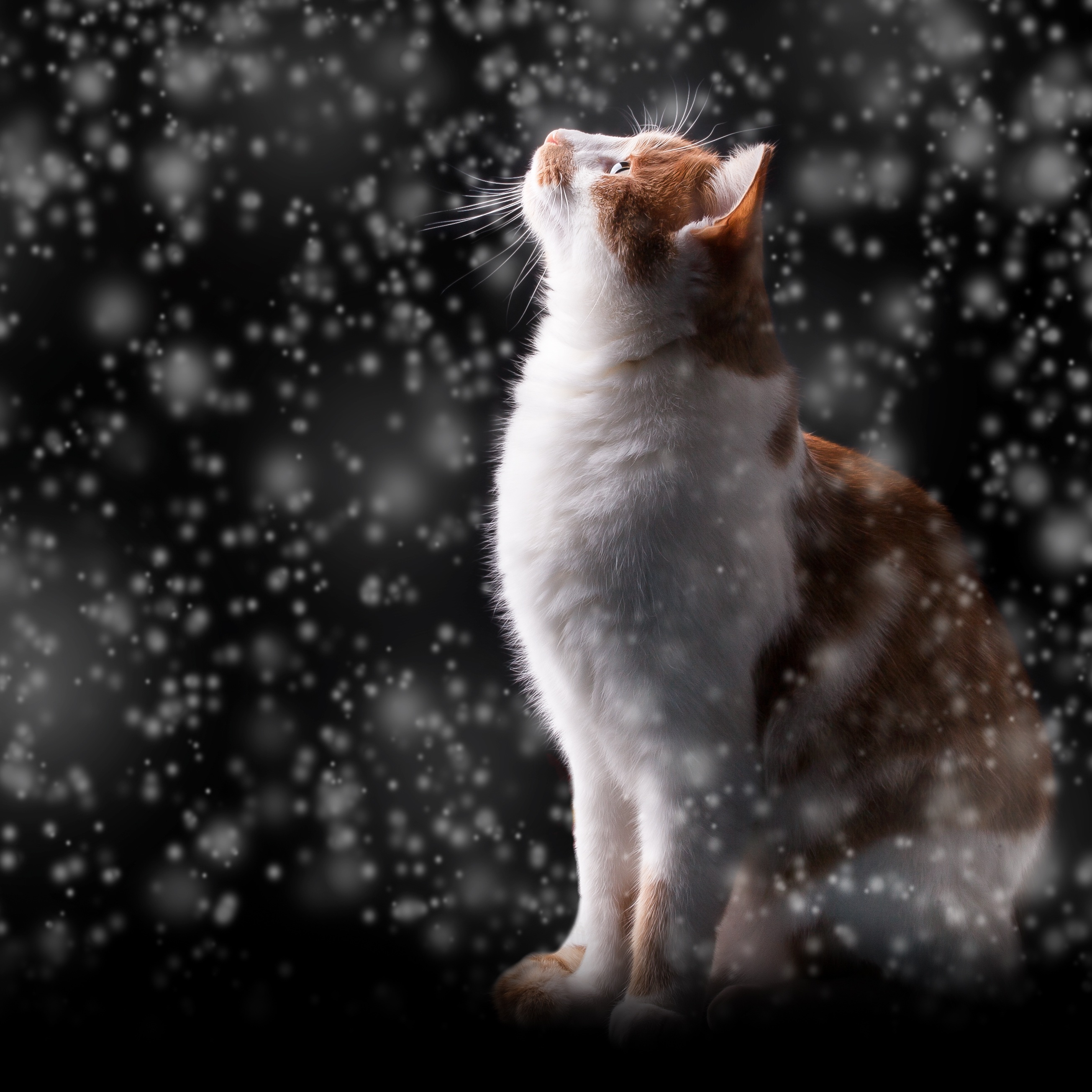 131986 Screensavers and Wallpapers Photoshop for phone. Download Animals, Snow, Glare, Cat, Photoshop, Bokeh, Boquet, Snowfall pictures for free