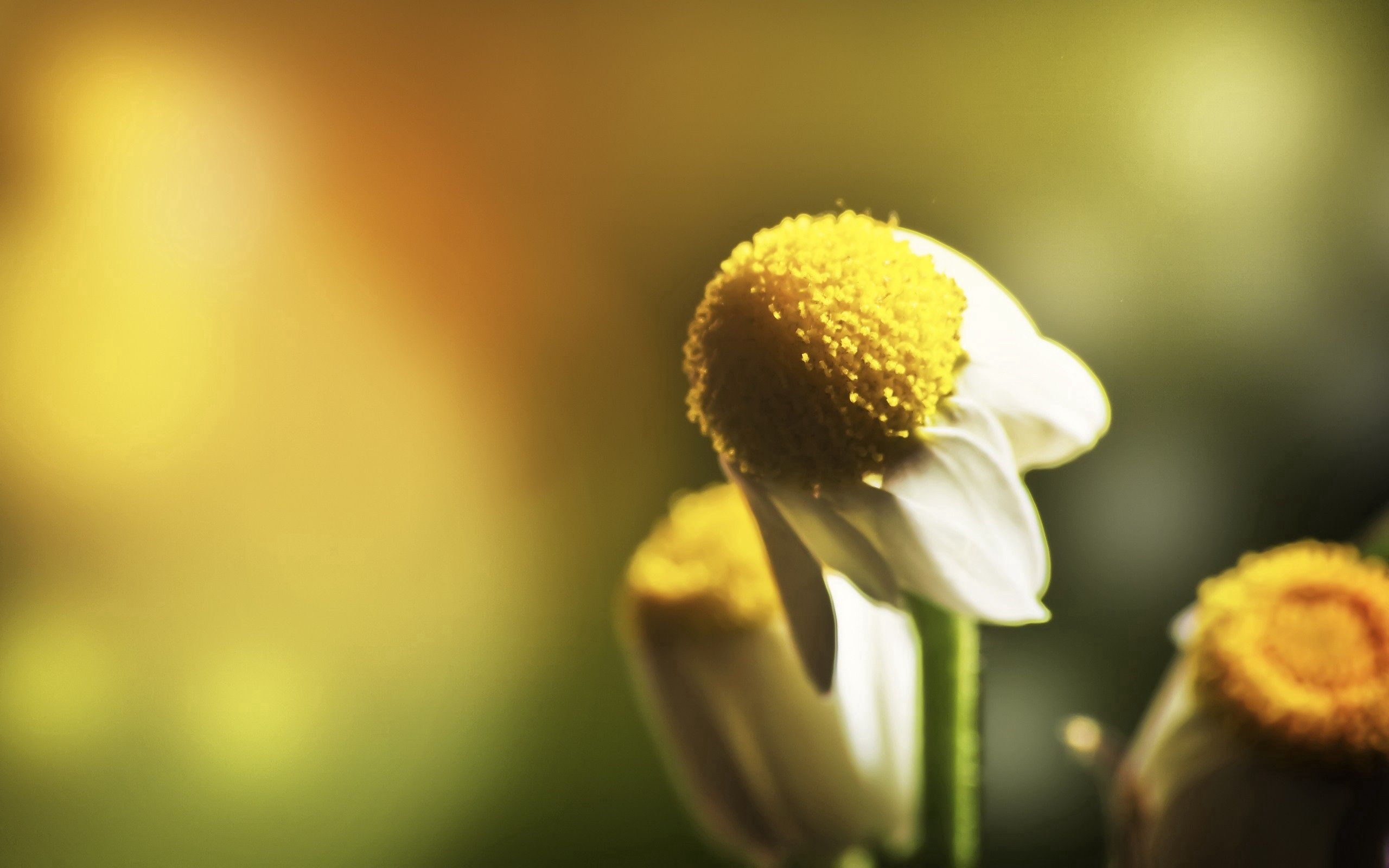 153533 download wallpaper Macro, Chamomile, Camomile, Flower, Petals, Blur, Smooth screensavers and pictures for free