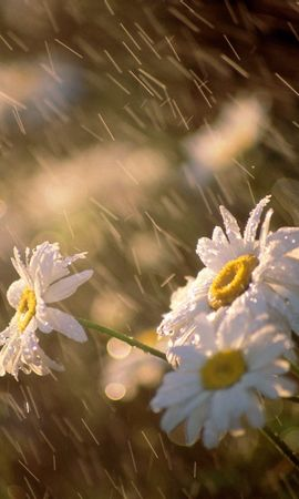 11156 descargar fondo de pantalla Plantas, Flores, Lluvia, Camomila: protectores de pantalla e imágenes gratis