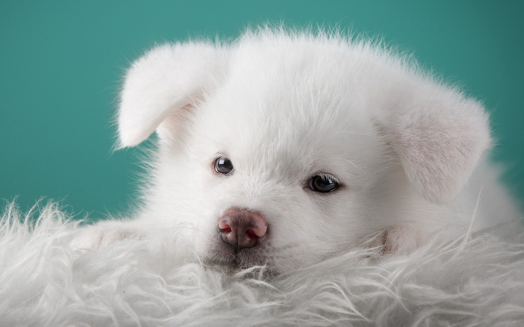 136592 download wallpaper Animals, Akita, Puppy, Dog screensavers and pictures for free