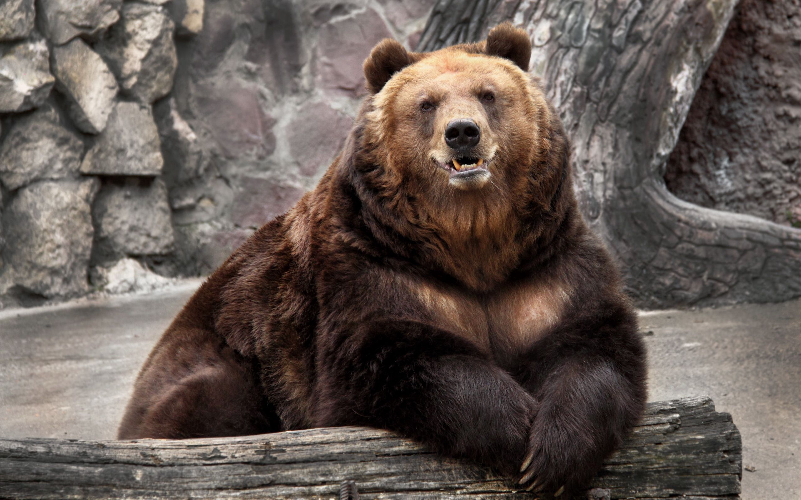 78702 Screensavers and Wallpapers Bear for phone. Download Animals, Nature, Muzzle, Bear, Zoo, Reserve pictures for free