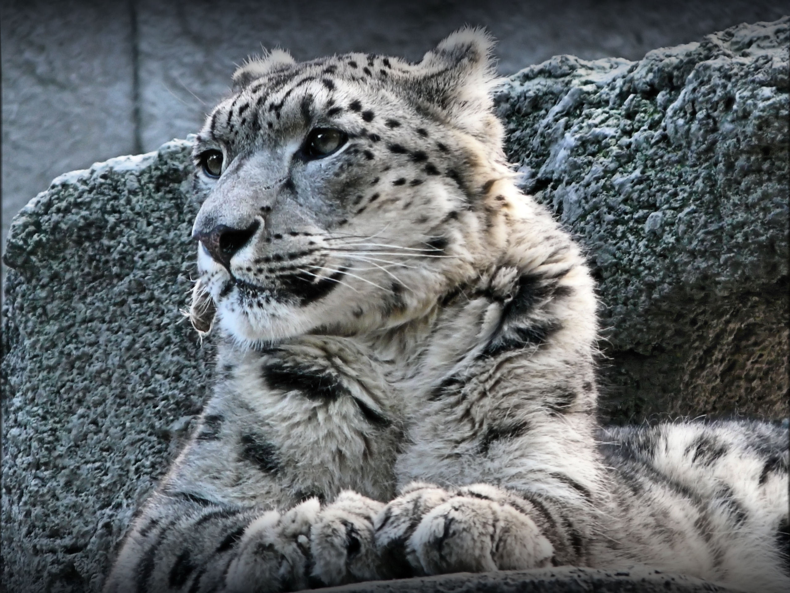 33610 download wallpaper Animals, Snow Leopard screensavers and pictures for free
