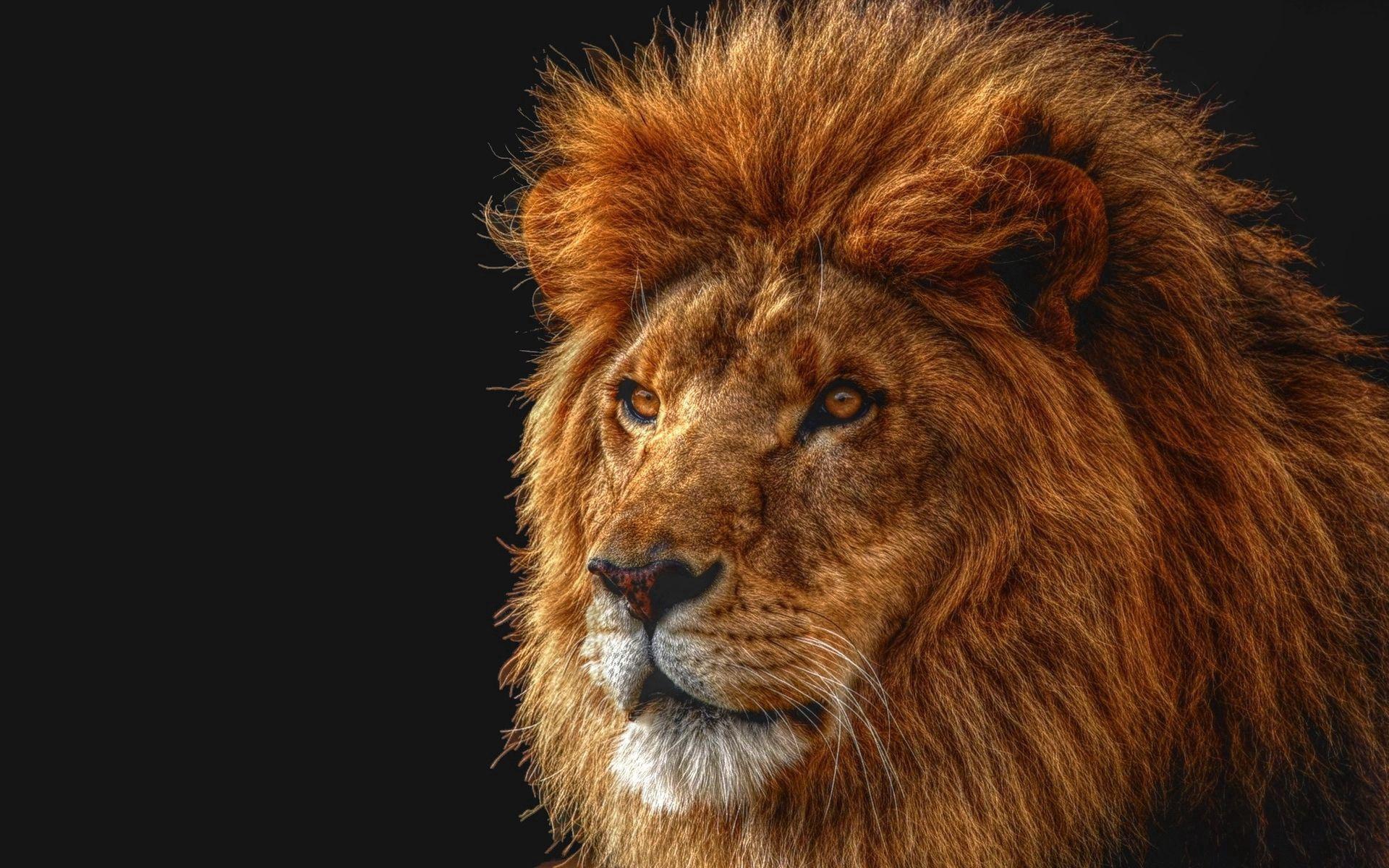 129638 baixar papel de parede Animais, Leão, Sombra, Um Leão, Predator, Predador, Visão, Opinião, Juba, Rei Das Feras, Rei Das Bestas - protetores de tela e imagens gratuitamente