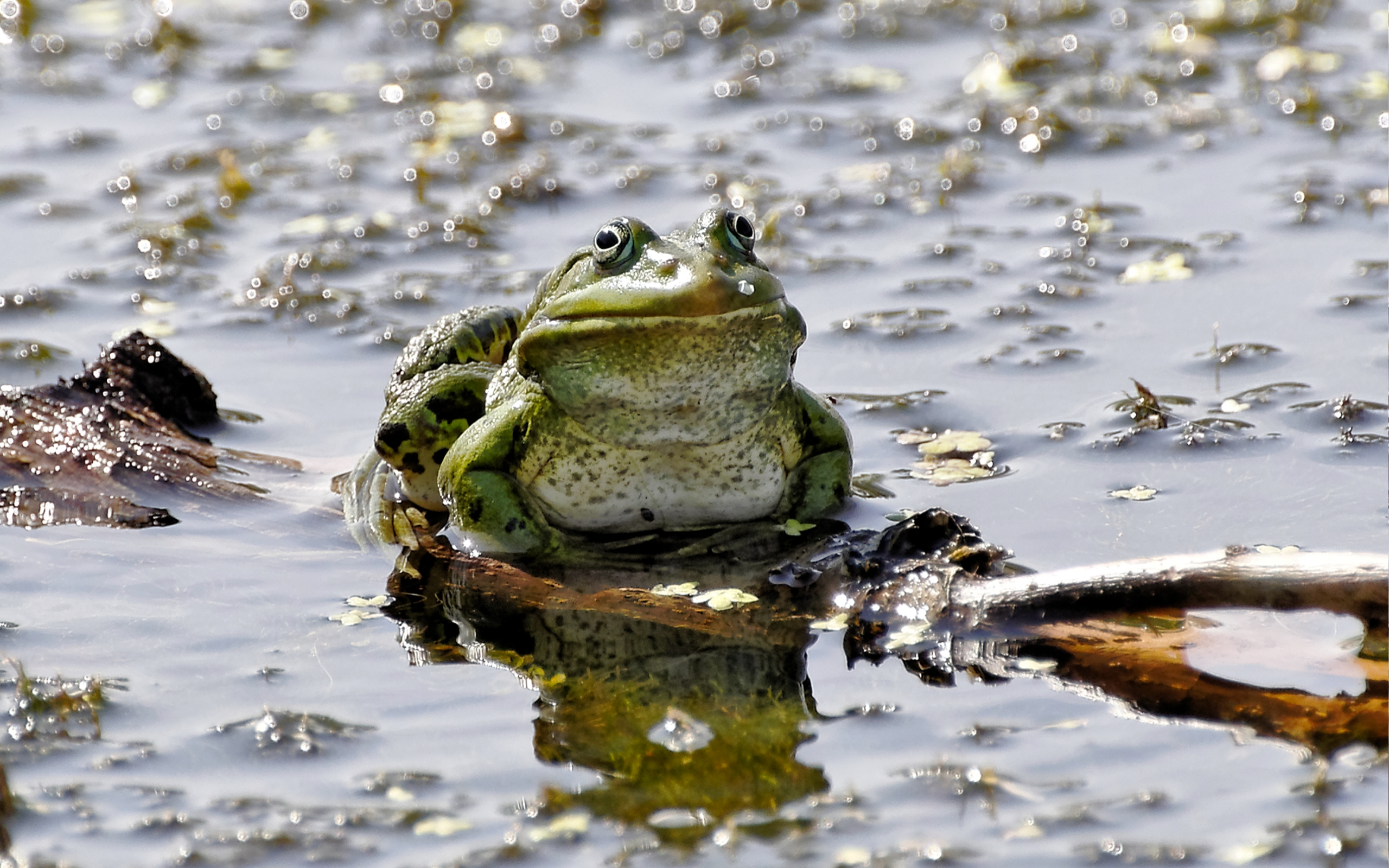 35857 download wallpaper Animals, Frogs screensavers and pictures for free