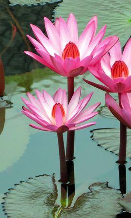138169 скачать обои Цветы, Лотос, Кувшинка, Вода - заставки и картинки бесплатно