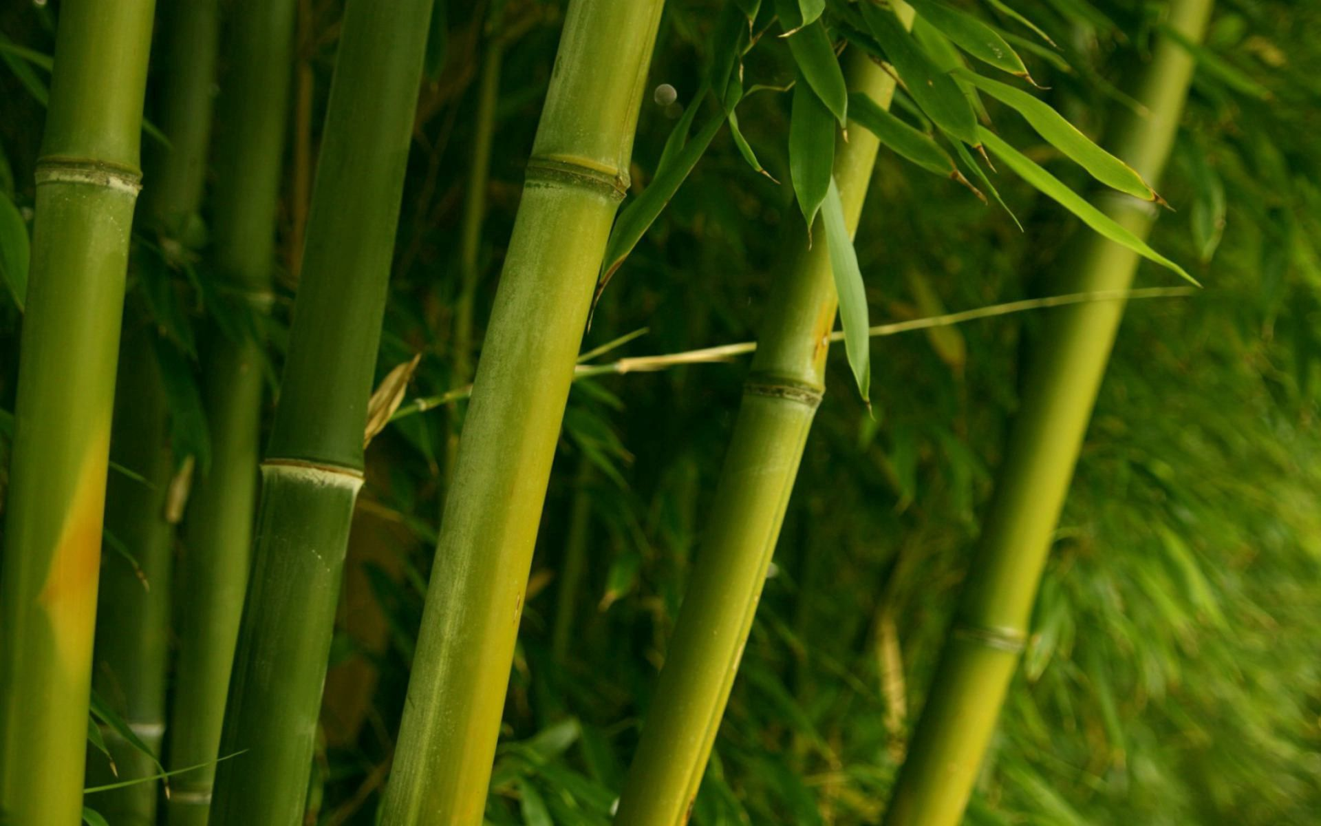 114273 download wallpaper Nature, Bamboo, Stems, Leaves screensavers and pictures for free