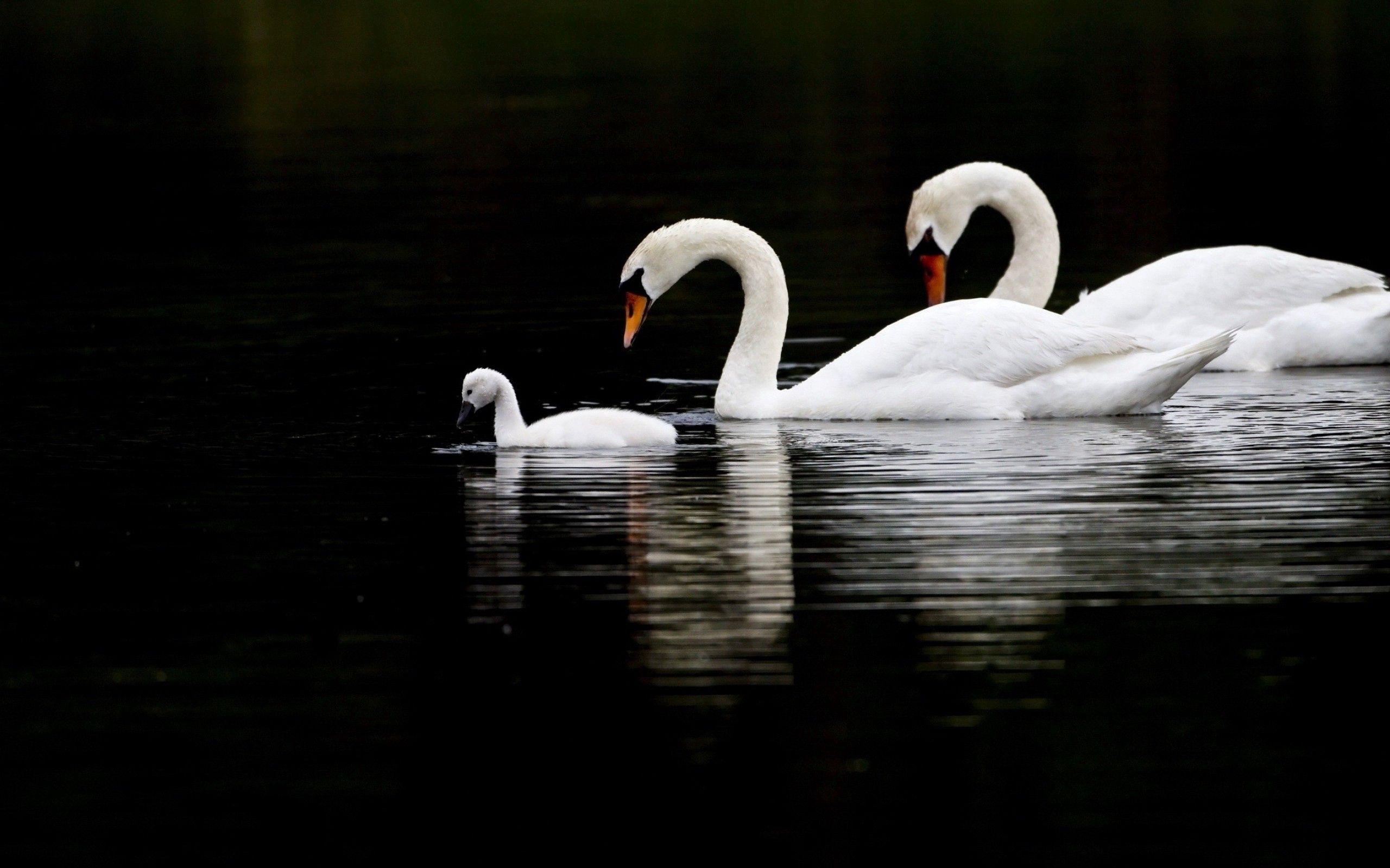 157491 Заставки и Обои Птицы на телефон. Скачать Лебеди, Птицы, Животные, Вода, Плавать картинки бесплатно