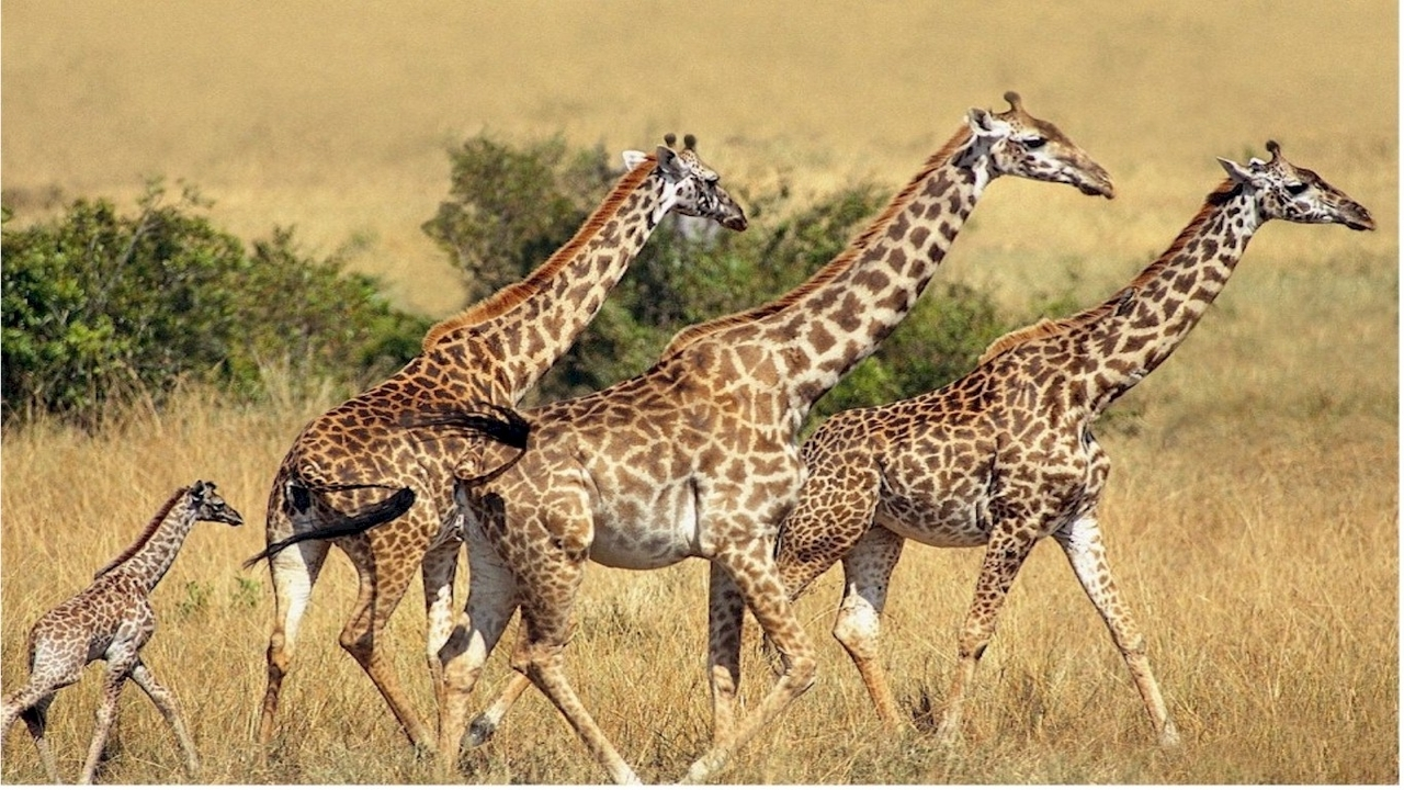 48285 download wallpaper Animals, Giraffes screensavers and pictures for free