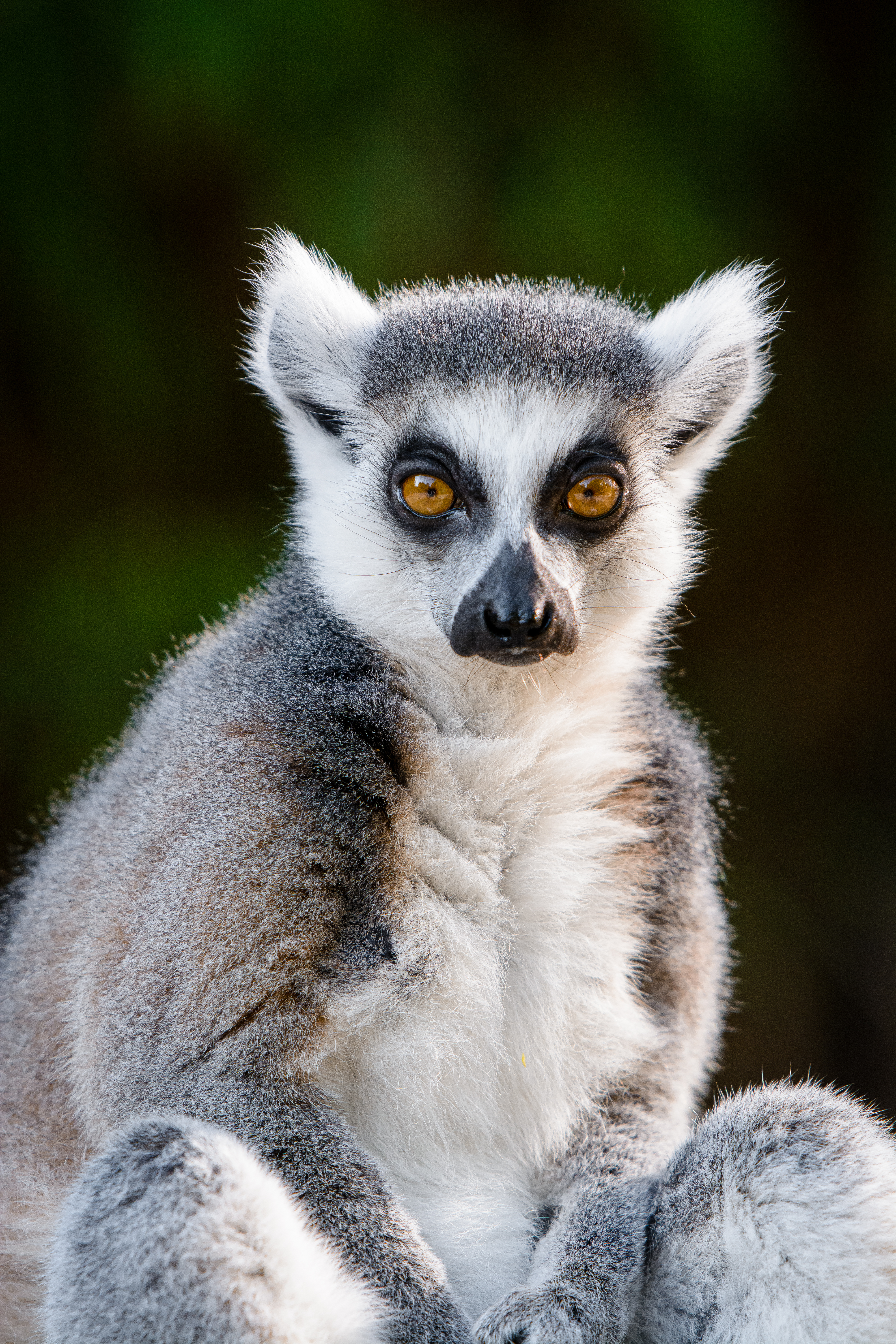116663 download wallpaper Animals, Lemur, Sight, Opinion, Cool, Animal, Wildlife screensavers and pictures for free