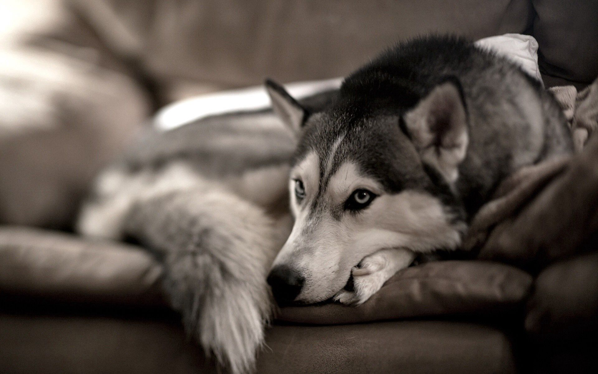 70866 download wallpaper Animals, Dog, Husky, Haska, Relaxation, Rest, Sofa screensavers and pictures for free