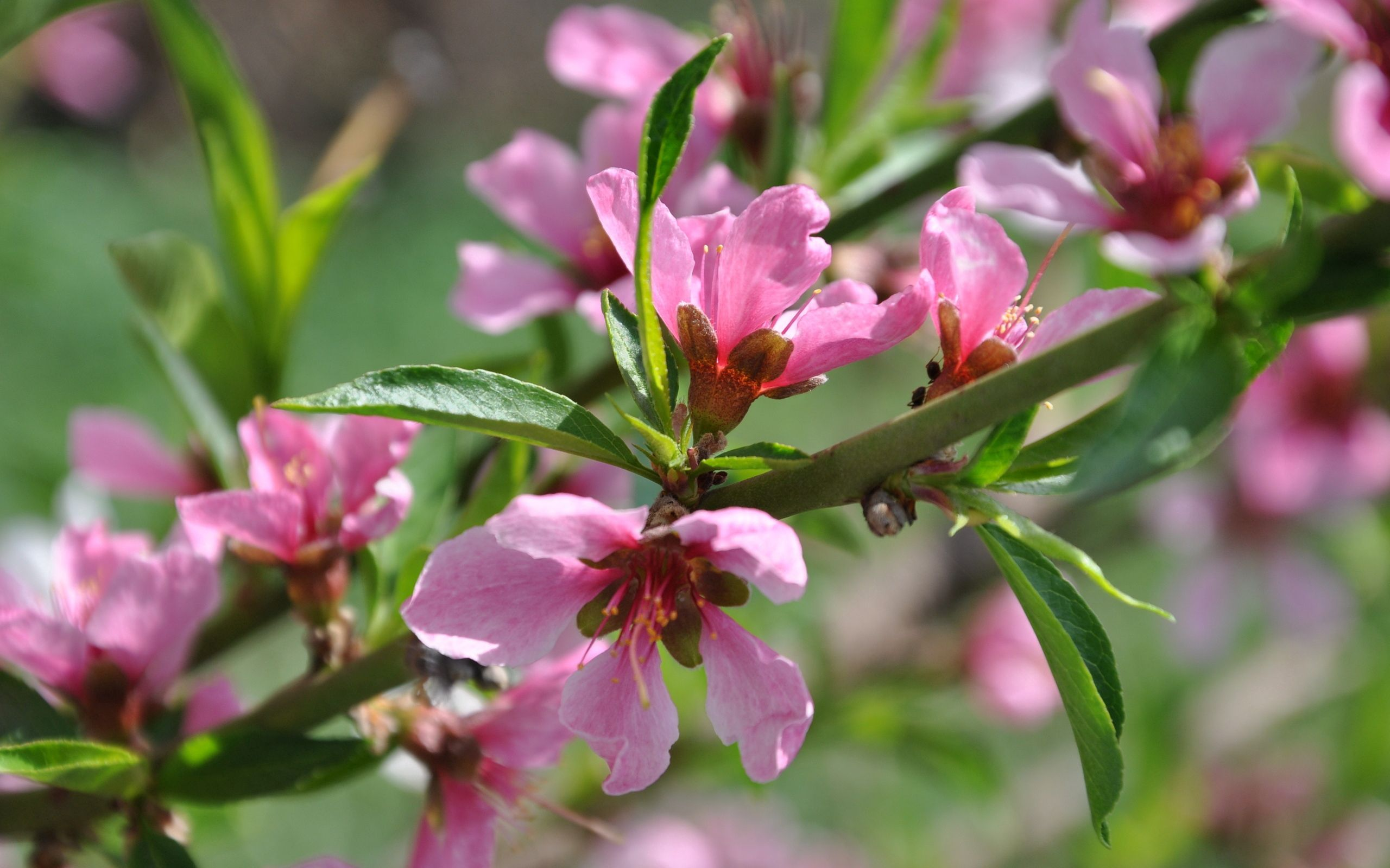 146314 download wallpaper Branch, Nature, Peaches, Wood, Tree, Bloom, Flowering, Spring screensavers and pictures for free