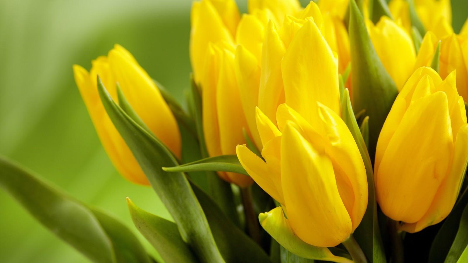 Скачать картинку Тюльпаны, Растения, Цветы в телефон бесплатно.