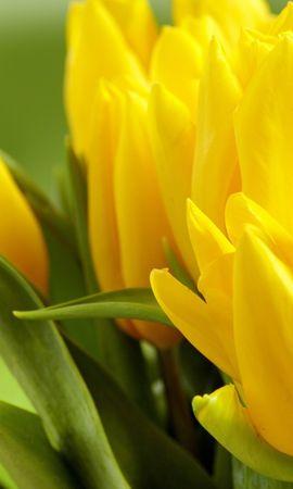 22736 скачать обои Растения, Цветы, Тюльпаны - заставки и картинки бесплатно