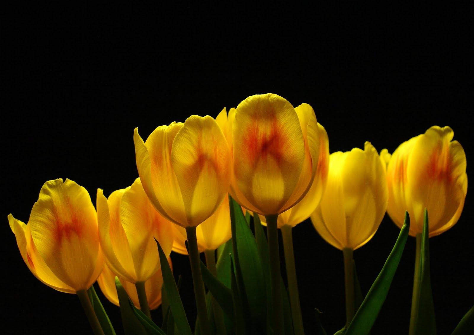 77201 descargar fondo de pantalla Flores, Fondo, Brillar, Luz, Tulipanes: protectores de pantalla e imágenes gratis