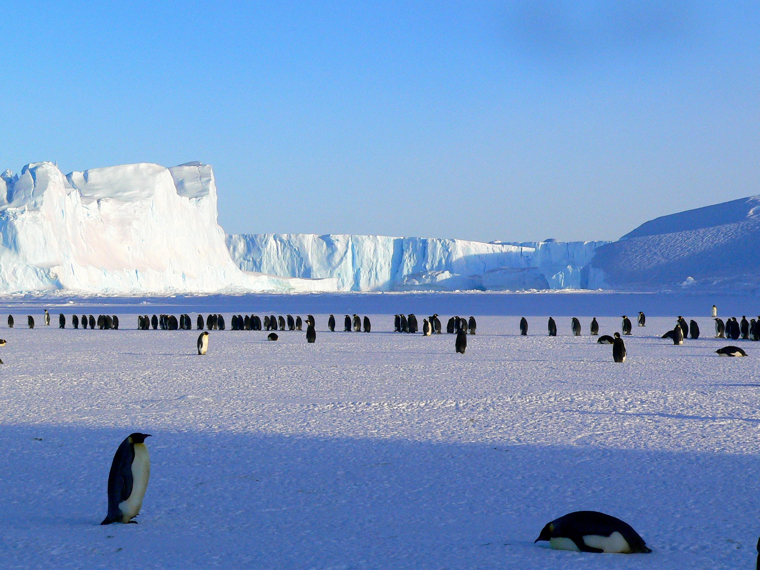 137804 download wallpaper Animals, Pinguins, Ice, Snow, Ice Floes, Antarctica screensavers and pictures for free