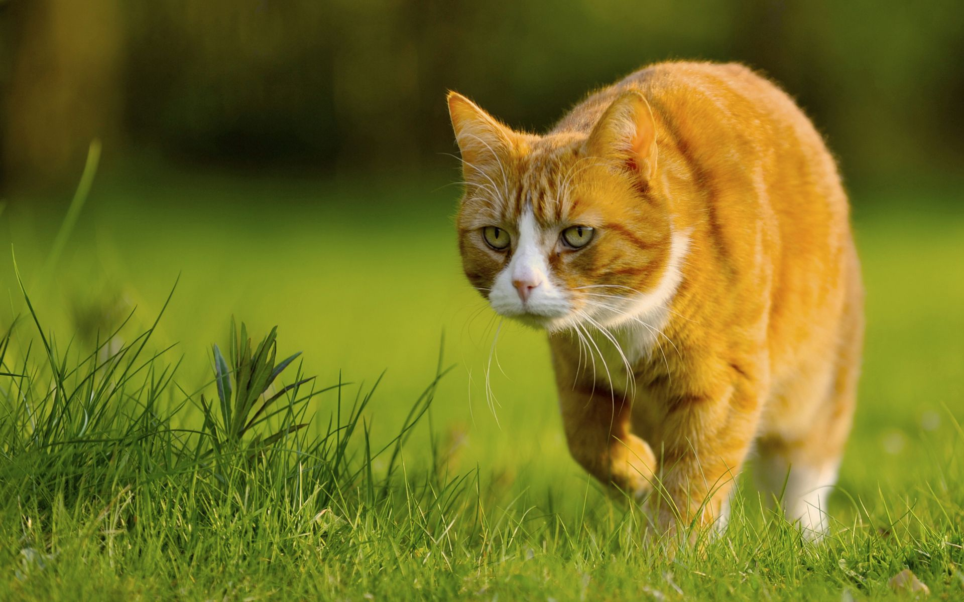 52546 download wallpaper Animals, Cat, Grass, Stroll, Hunting, Hunt screensavers and pictures for free
