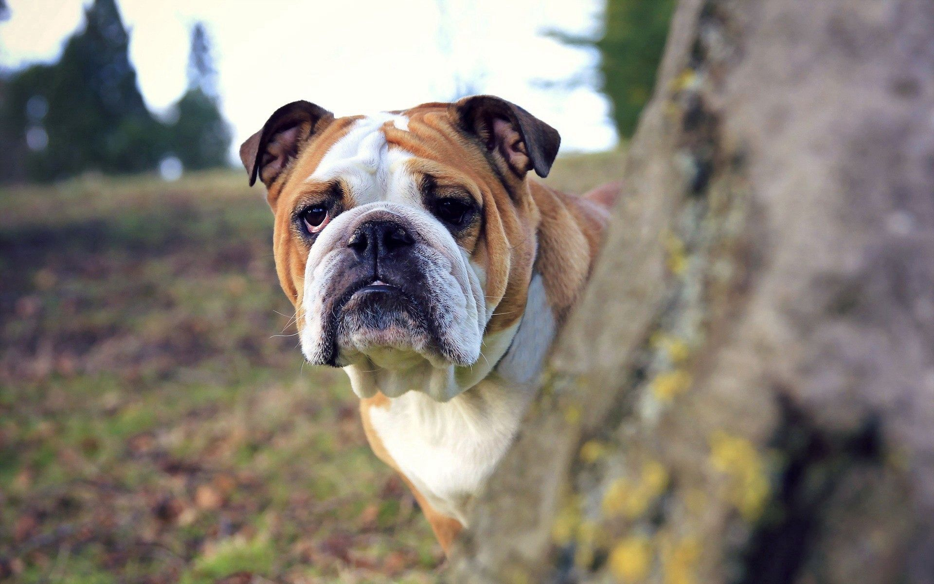 155046 download wallpaper Animals, Dog, Wood, Tree, Peek Out, Look Out, Sight, Opinion screensavers and pictures for free