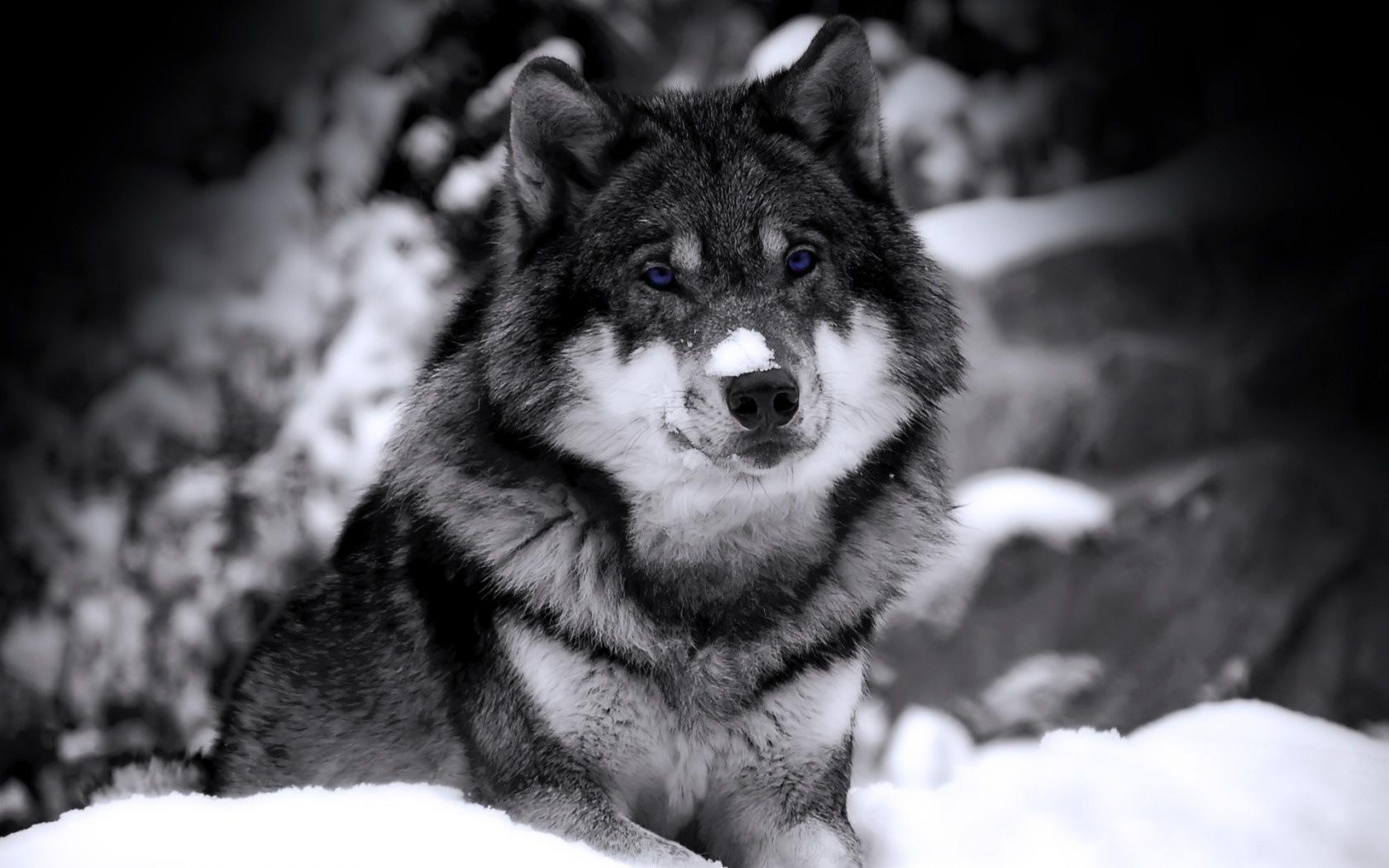42928 скачать обои Волки, Животные - заставки и картинки бесплатно