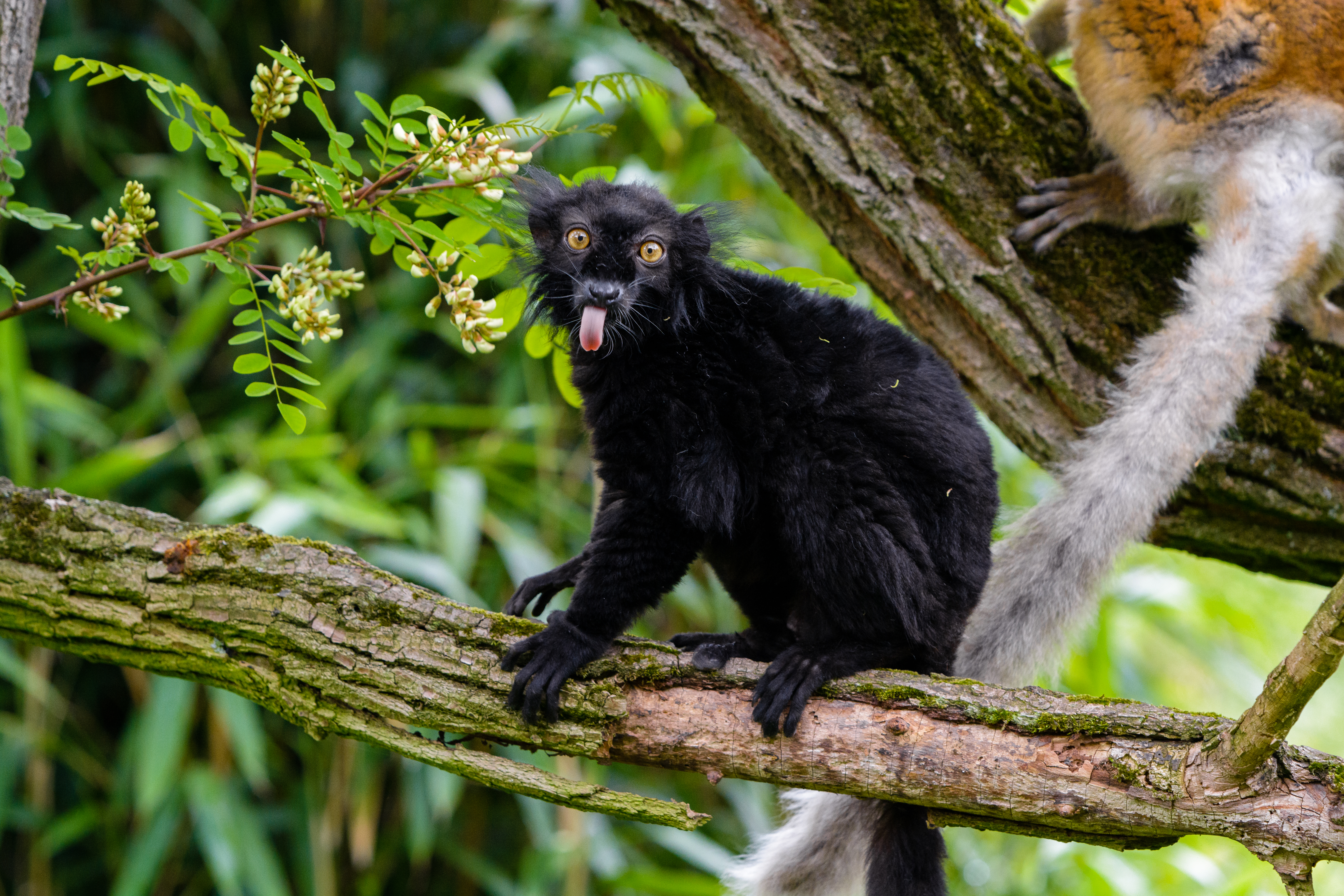 116430 download wallpaper Animals, Lemur, Protruding Tongue, Tongue Stuck Out, Funny, Wildlife screensavers and pictures for free