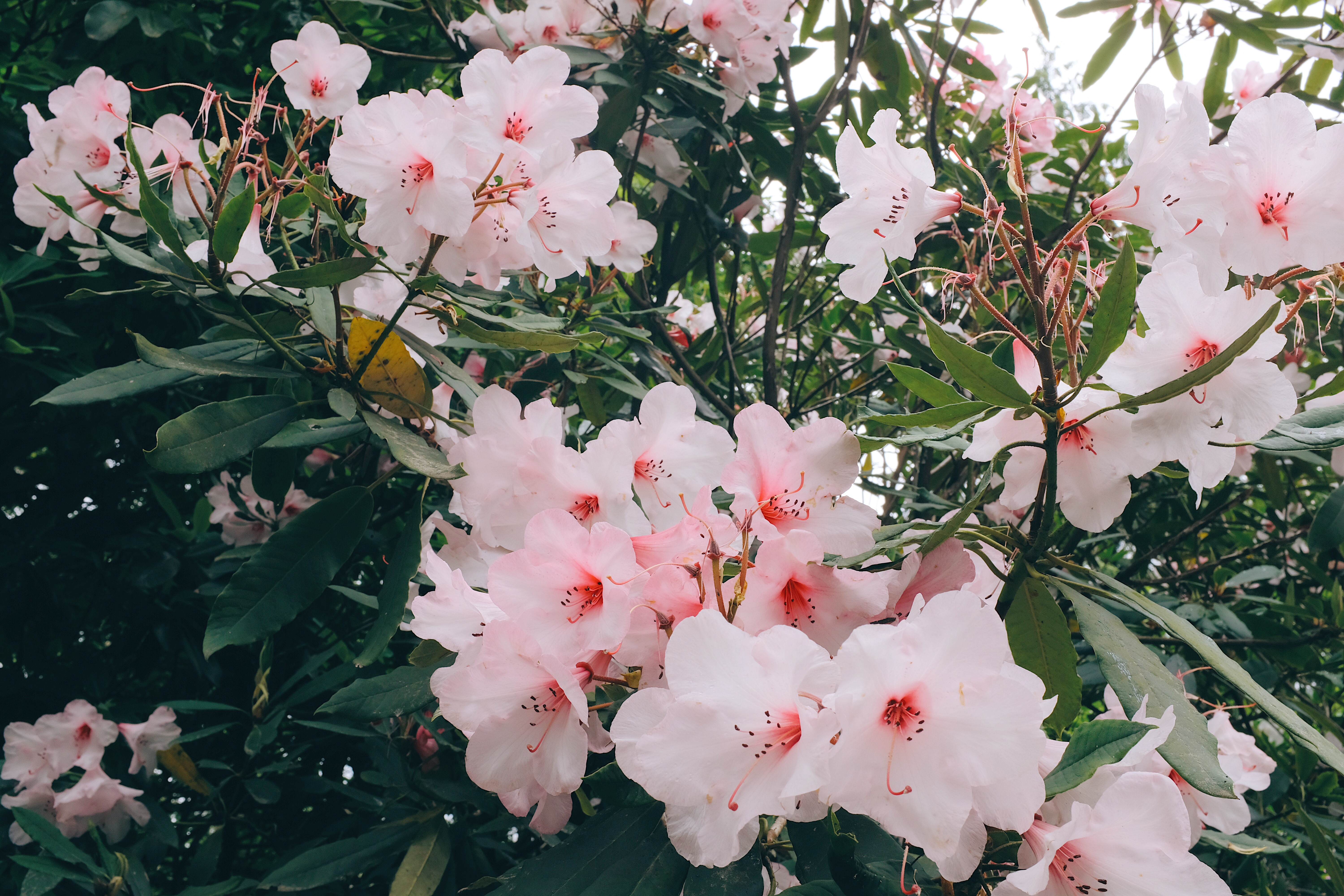 144506 download wallpaper Flowers, Pink, Bloom, Flowering, Plant, Branches, Leaves screensavers and pictures for free