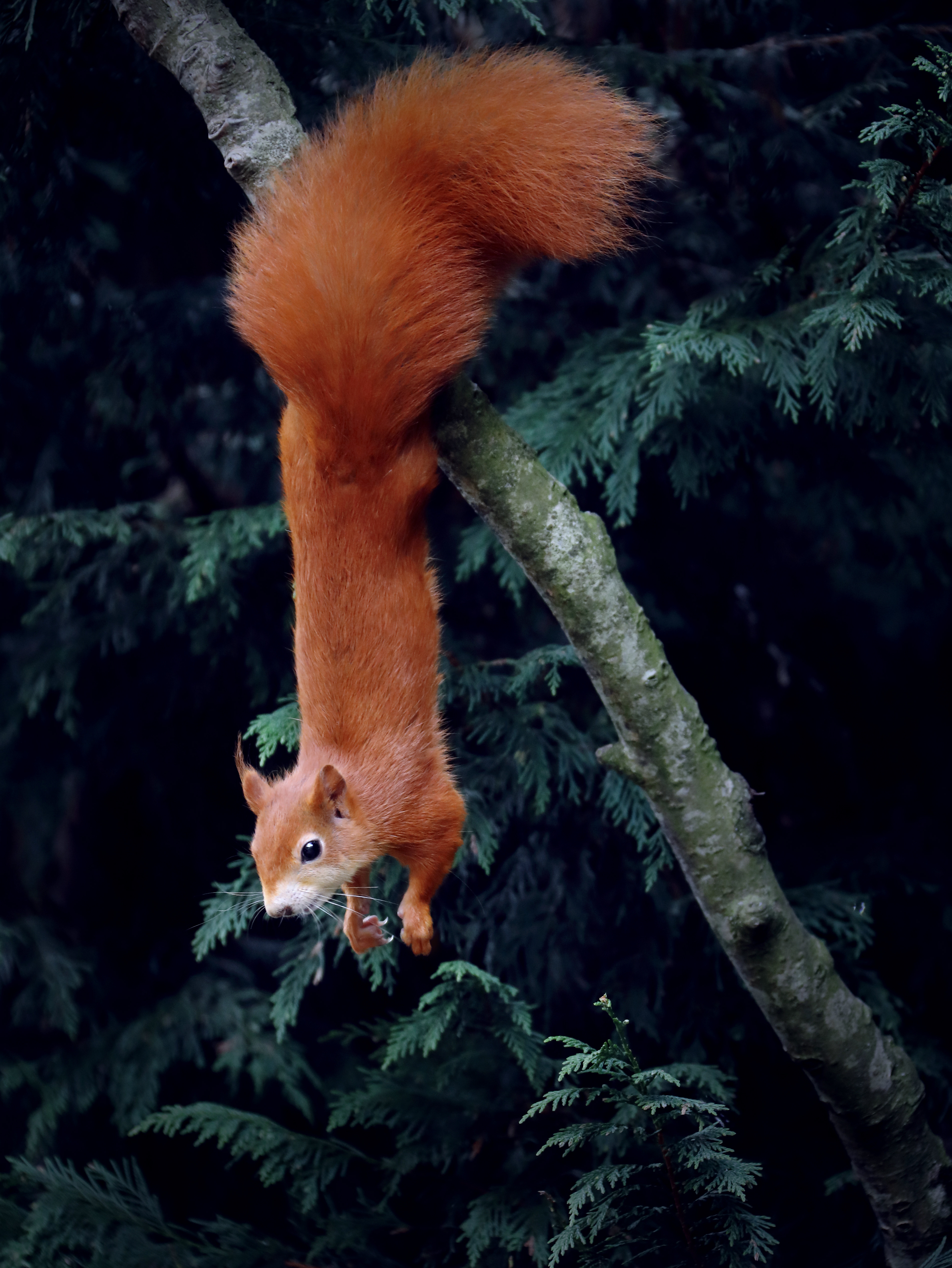 93178 download wallpaper Animals, Squirrel, Rodent, Funny, Wood, Tree, Animal screensavers and pictures for free