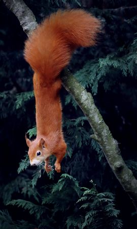 93178 Screensavers and Wallpapers Funny for phone. Download Animals, Squirrel, Rodent, Funny, Wood, Tree, Animal pictures for free
