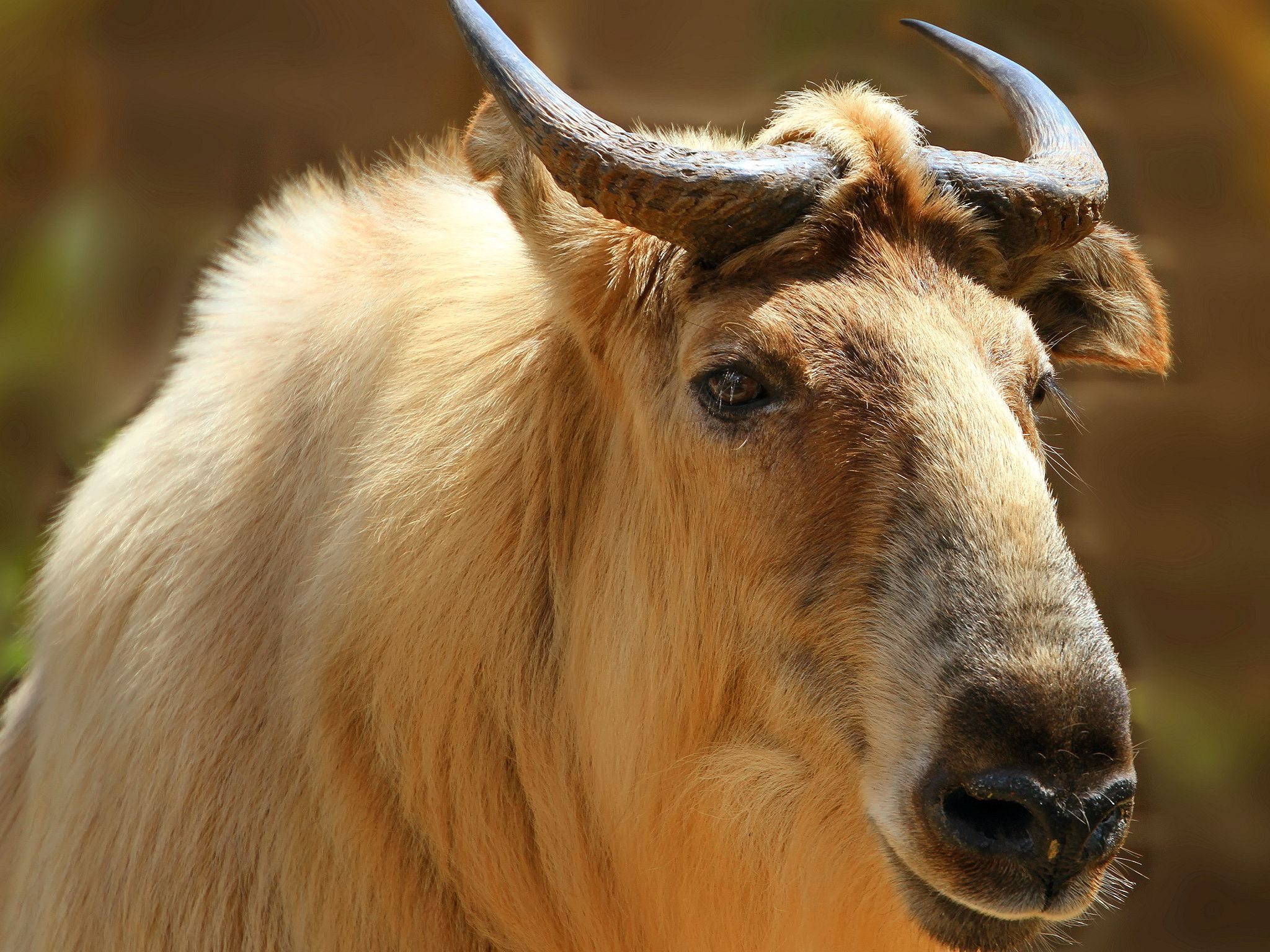 110645 download wallpaper Animals, Sichuan Takin, Sichuan Tatin, Takin, Tatin, Head, Horns screensavers and pictures for free