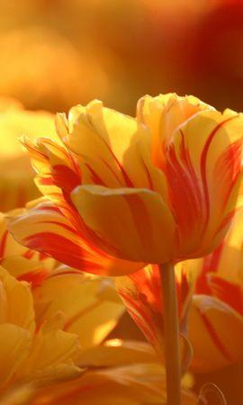 10154 скачать обои Растения, Цветы, Тюльпаны - заставки и картинки бесплатно