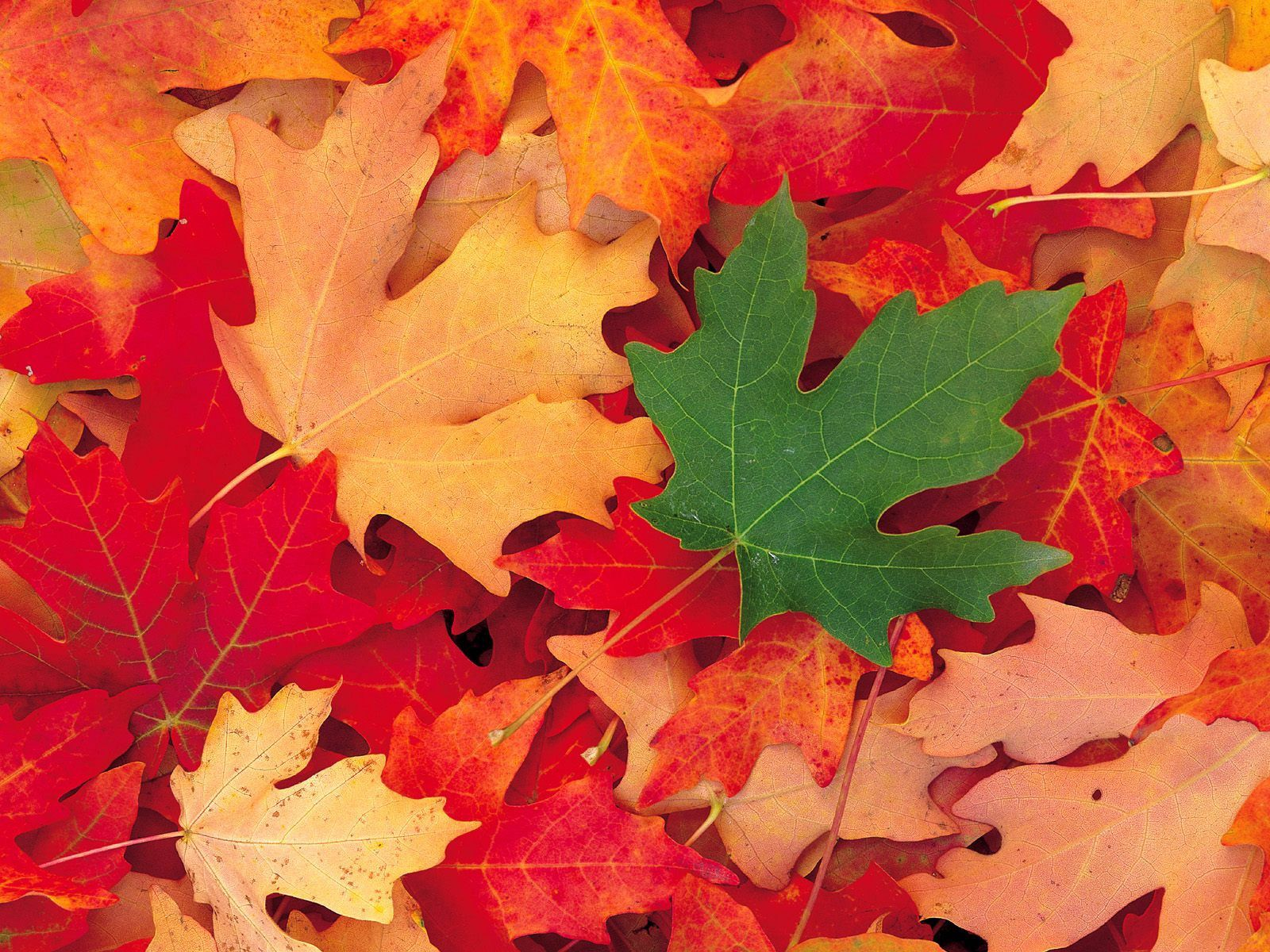 64178 download wallpaper Nature, Leaves, Autumn, Fallen, Maple screensavers and pictures for free
