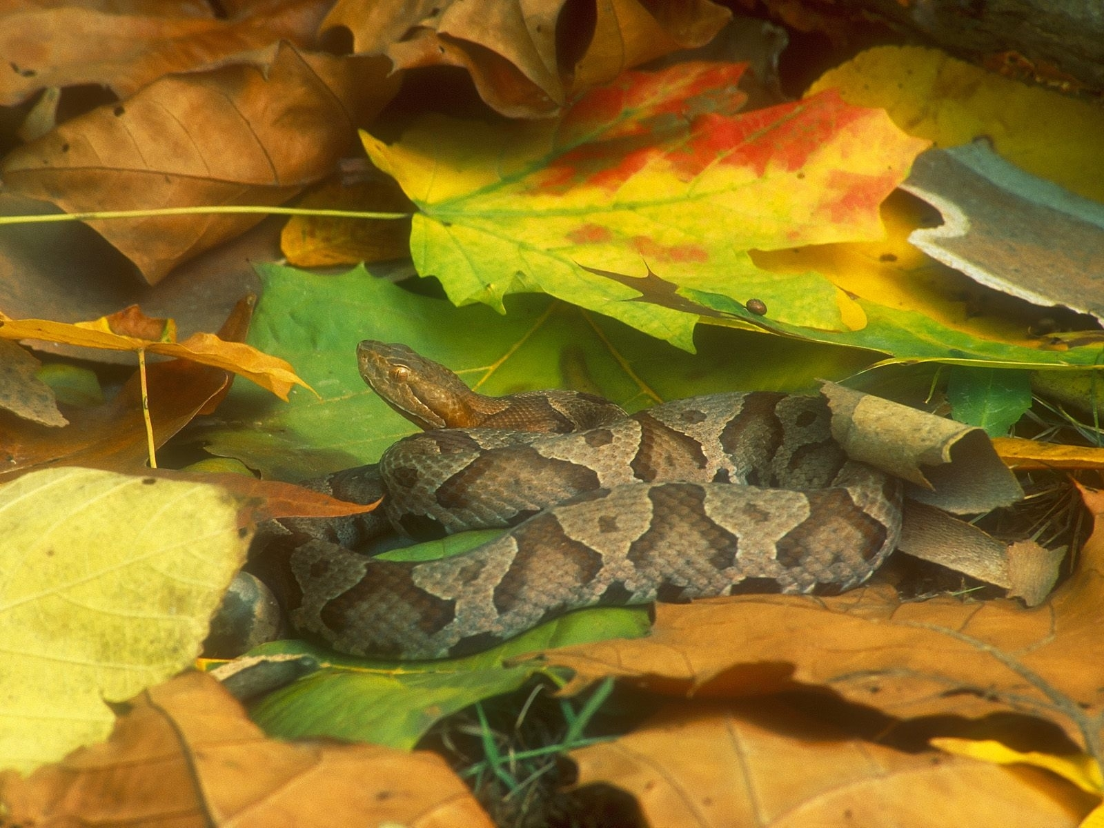 4868 download wallpaper Animals, Snakes screensavers and pictures for free